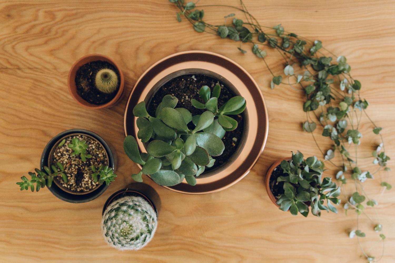 Haarkon House Home Plant Garden Indoor Crassula Money Plant Succulent