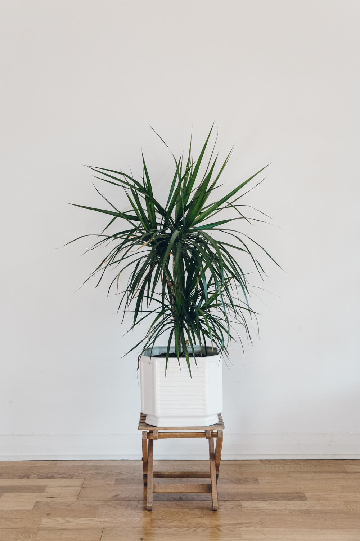 Haarkon Dracaena Dragon Tree Plant
