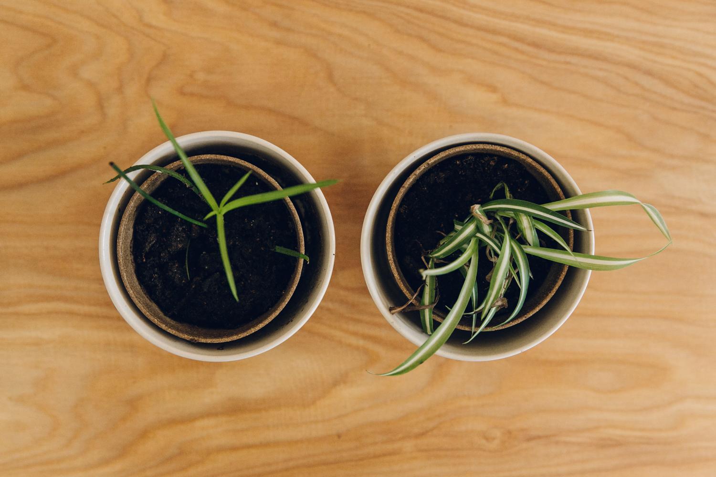 Haarkon Plants Spider Plant Umbrella Schleffera