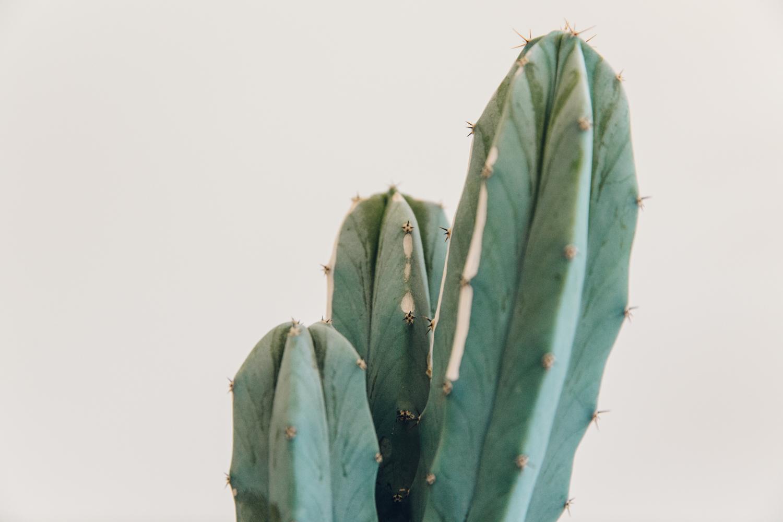 Haarkon Cactus Plant