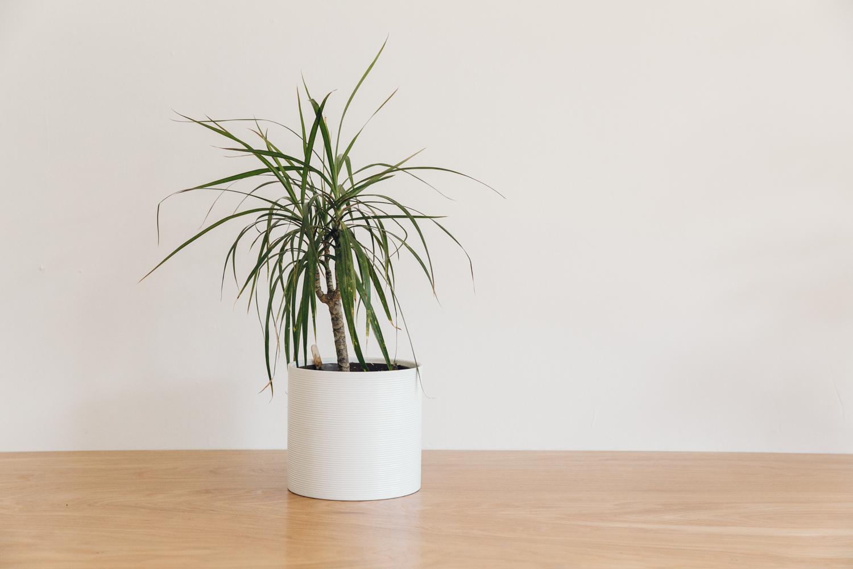 Haarkon Plant Dragon Tree