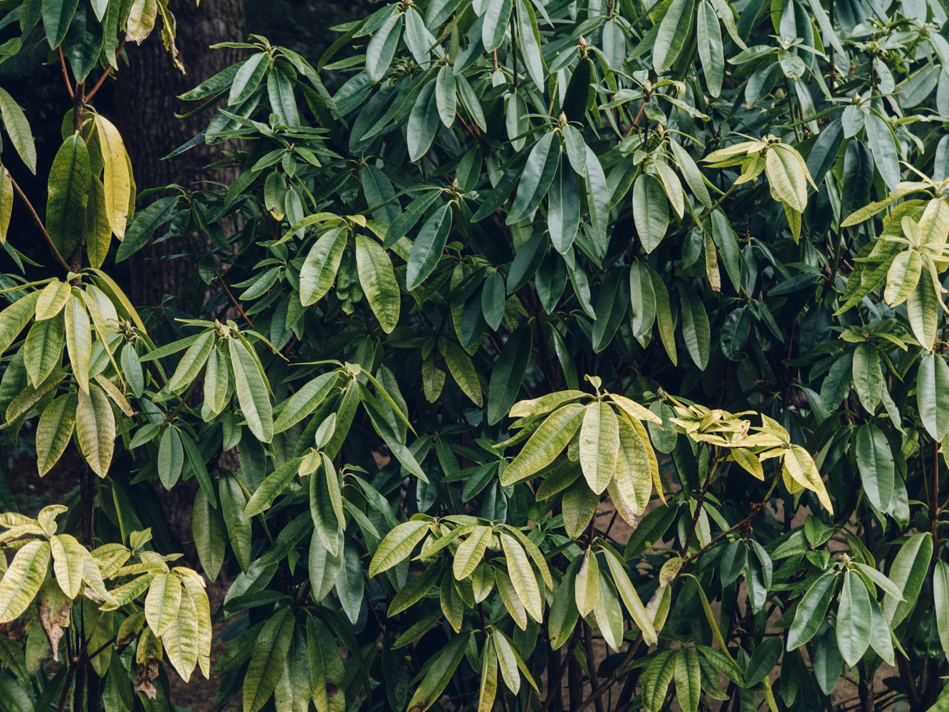 Haarkon Whinfell park garden japanese plants nature green winter sheffield travel rhodedendron