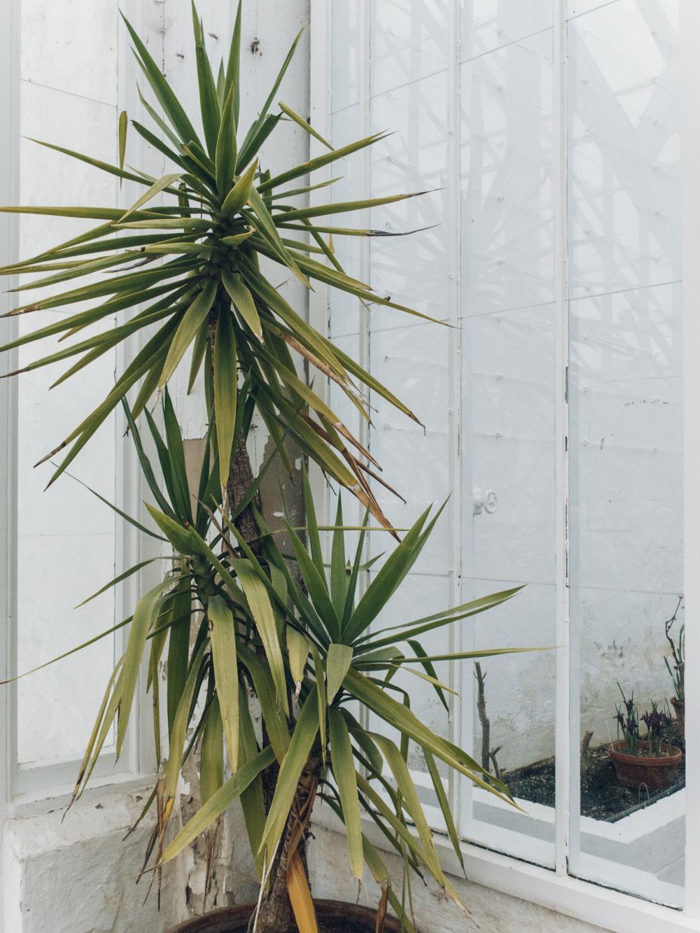 Haarkon Clumber Park Sherwood Forest National Trust Glasshouse Greenhouse Garden Plants Palm Yucca