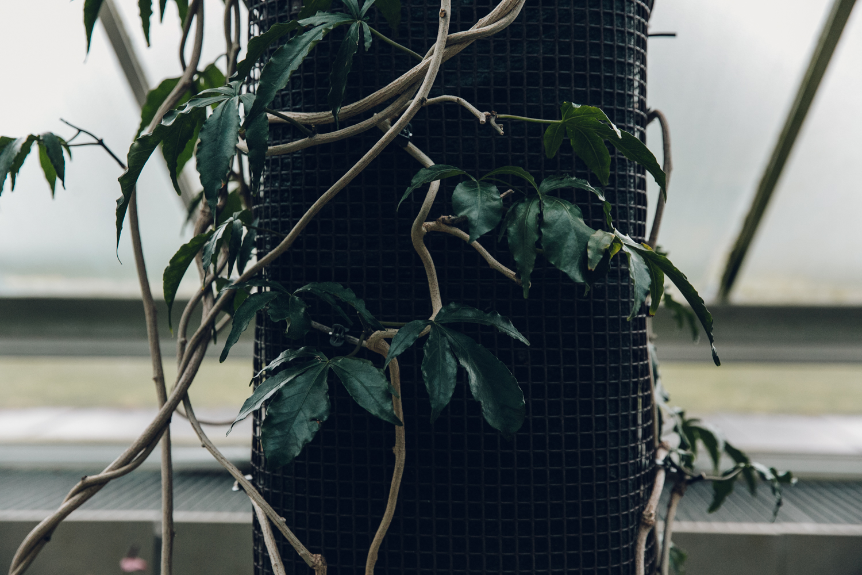 Haarkon Kew Gardens Conservatory Glasshouse Princess Wales Greenhouse Vine