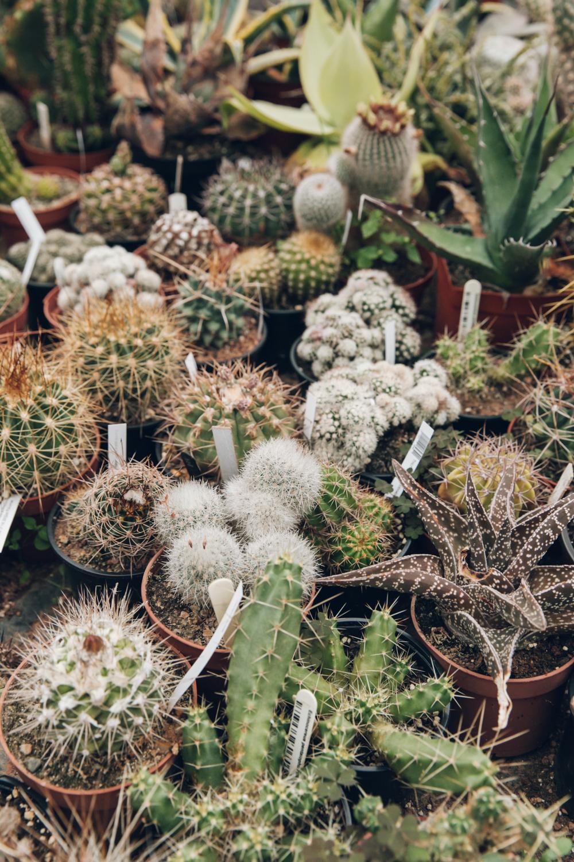 Haarkon Cactus Cacti Plants Houseplants Shop Nature Garden