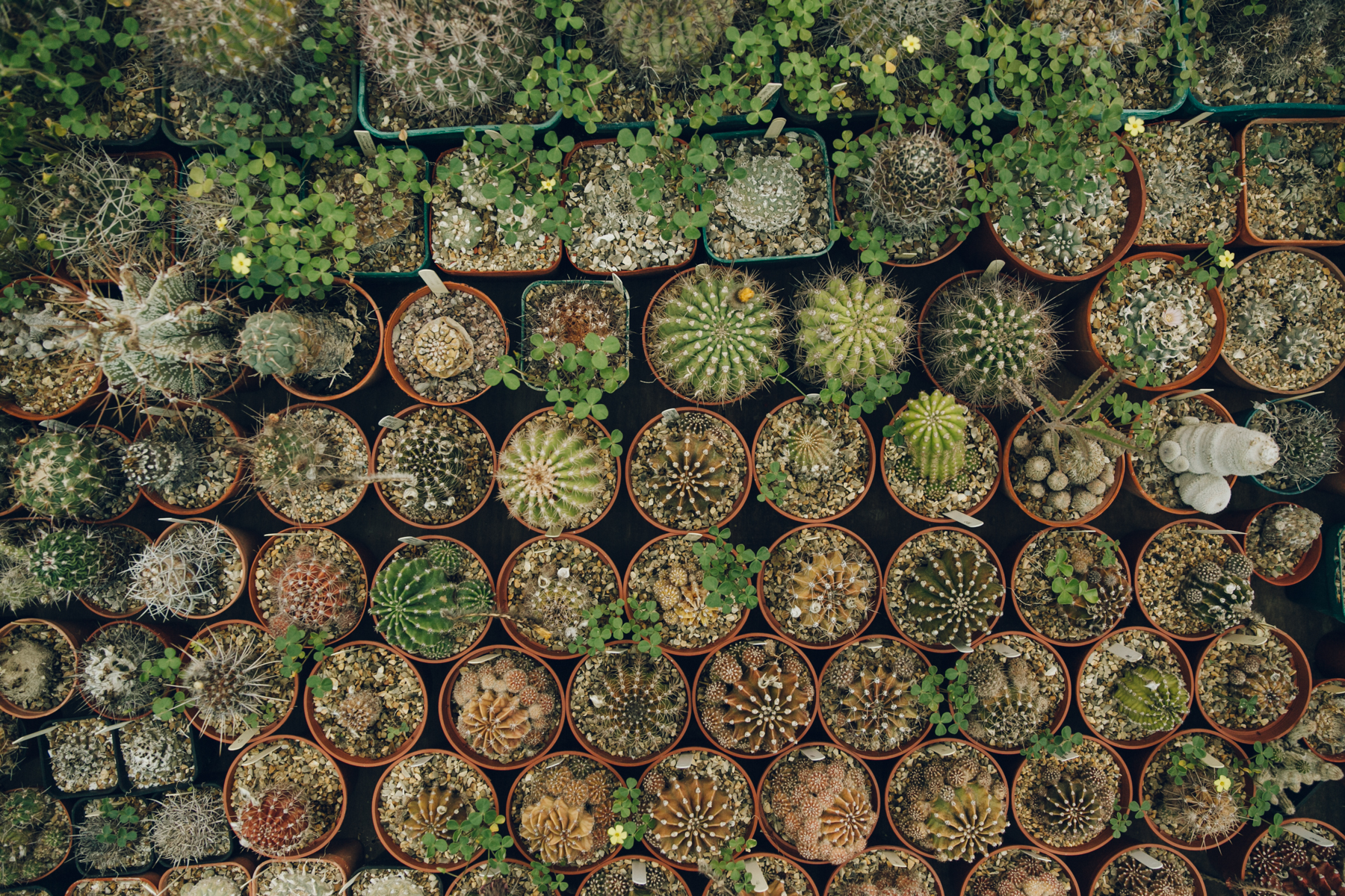 Rows of different cacti.