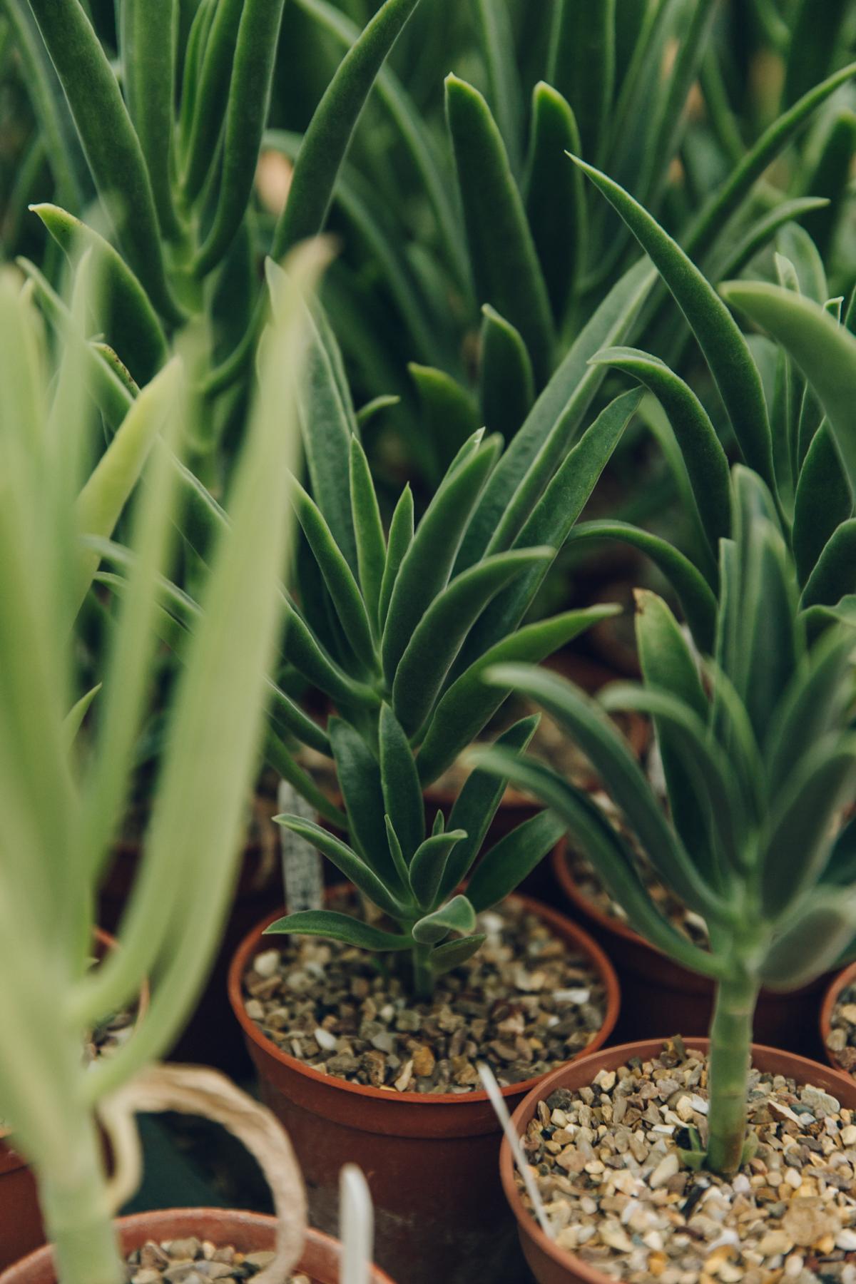 Aloe in pots