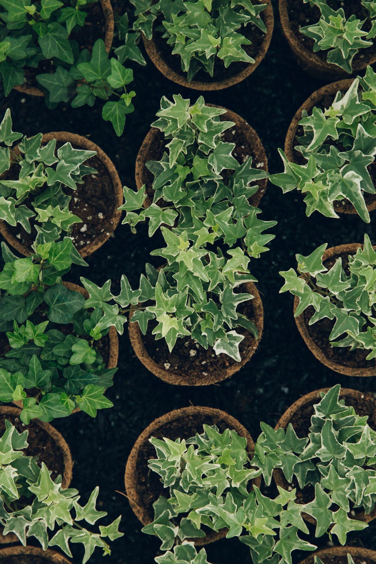Ivy plants in pots