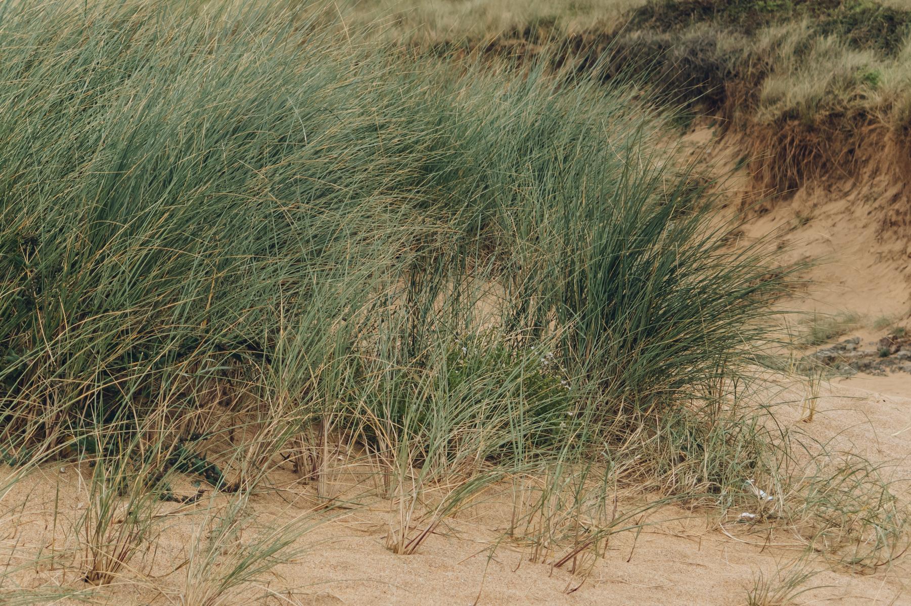 Grassy sand dunes.