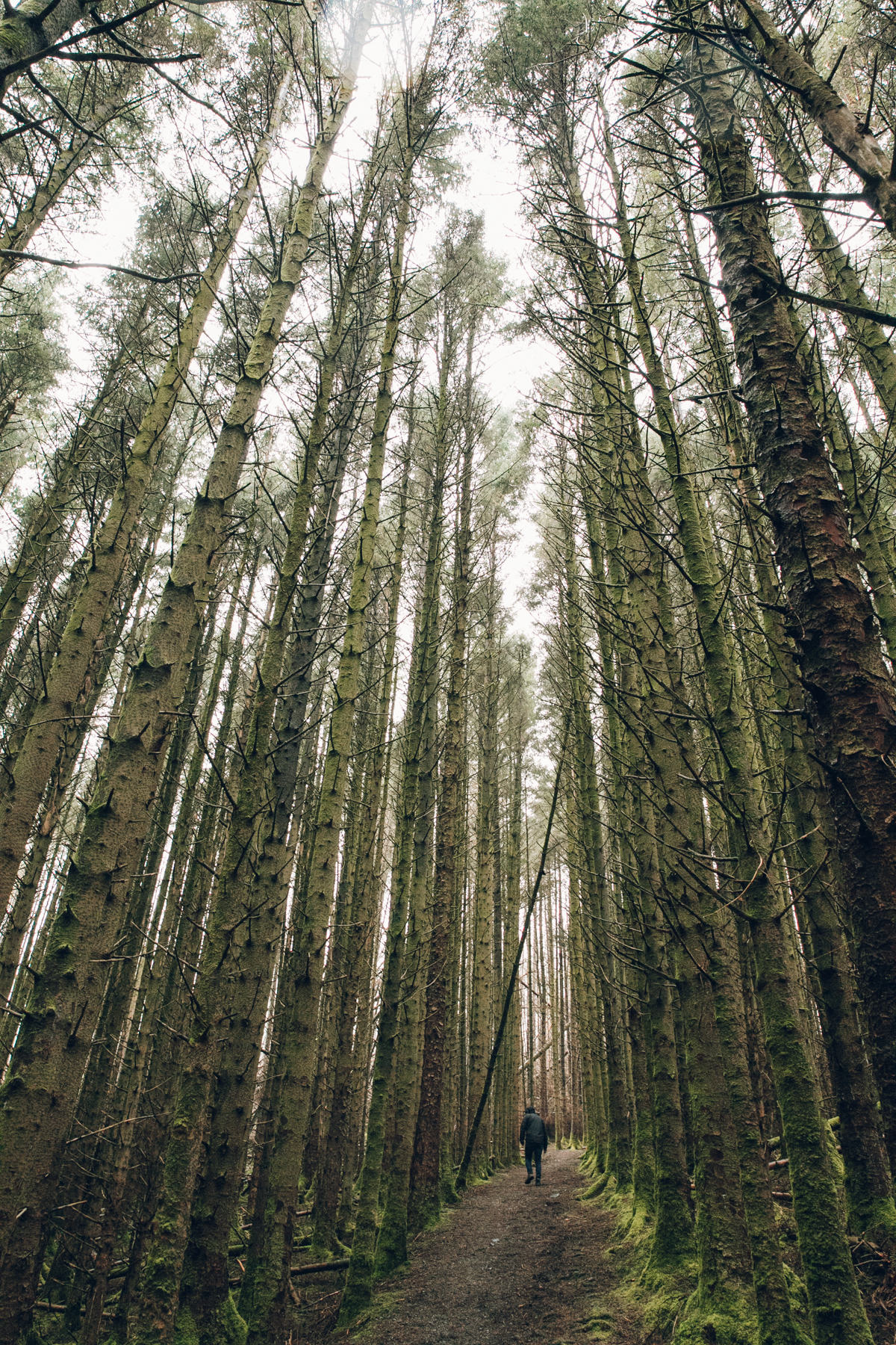 Tall tall trees in a forest on the Isle of Skye.
