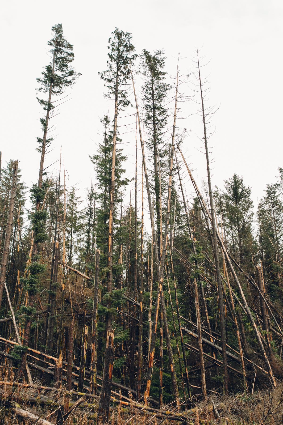 Fallen pine trees.