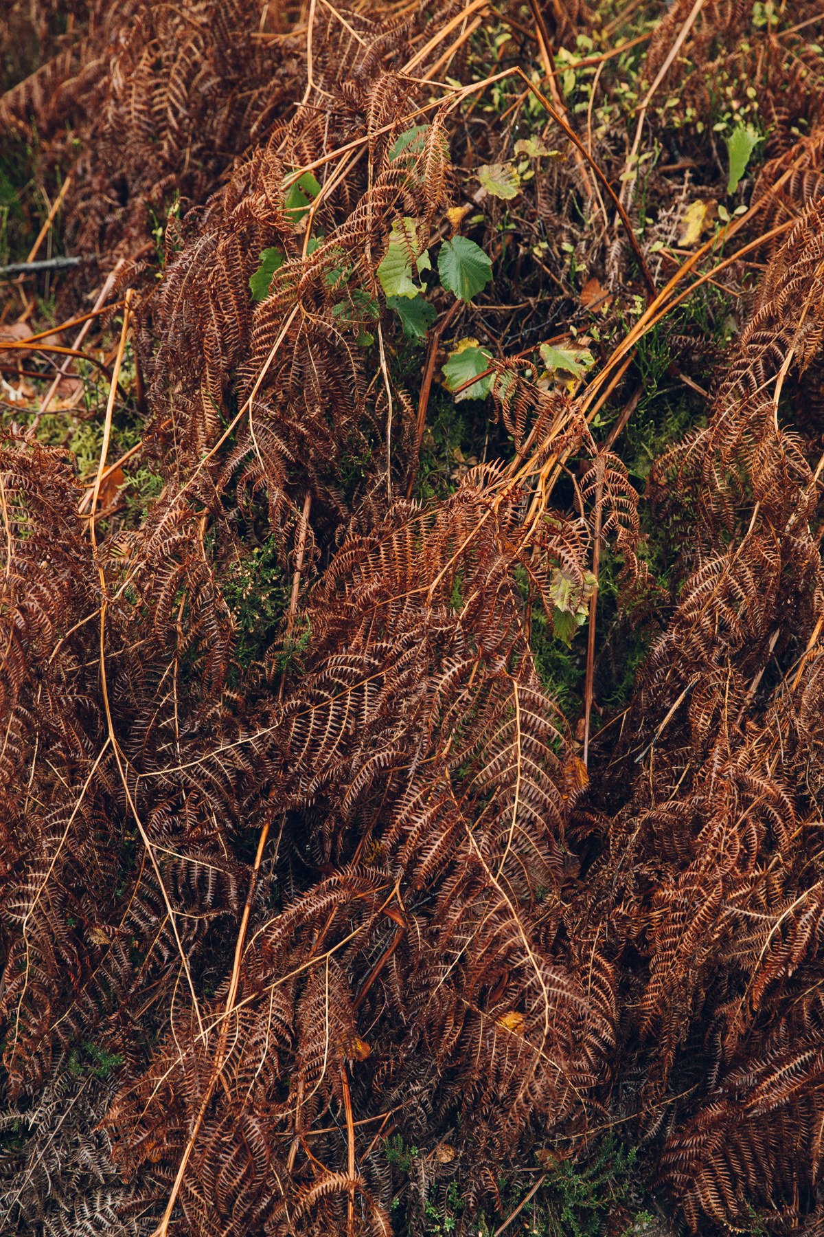 Autumnal colours in the bracken.