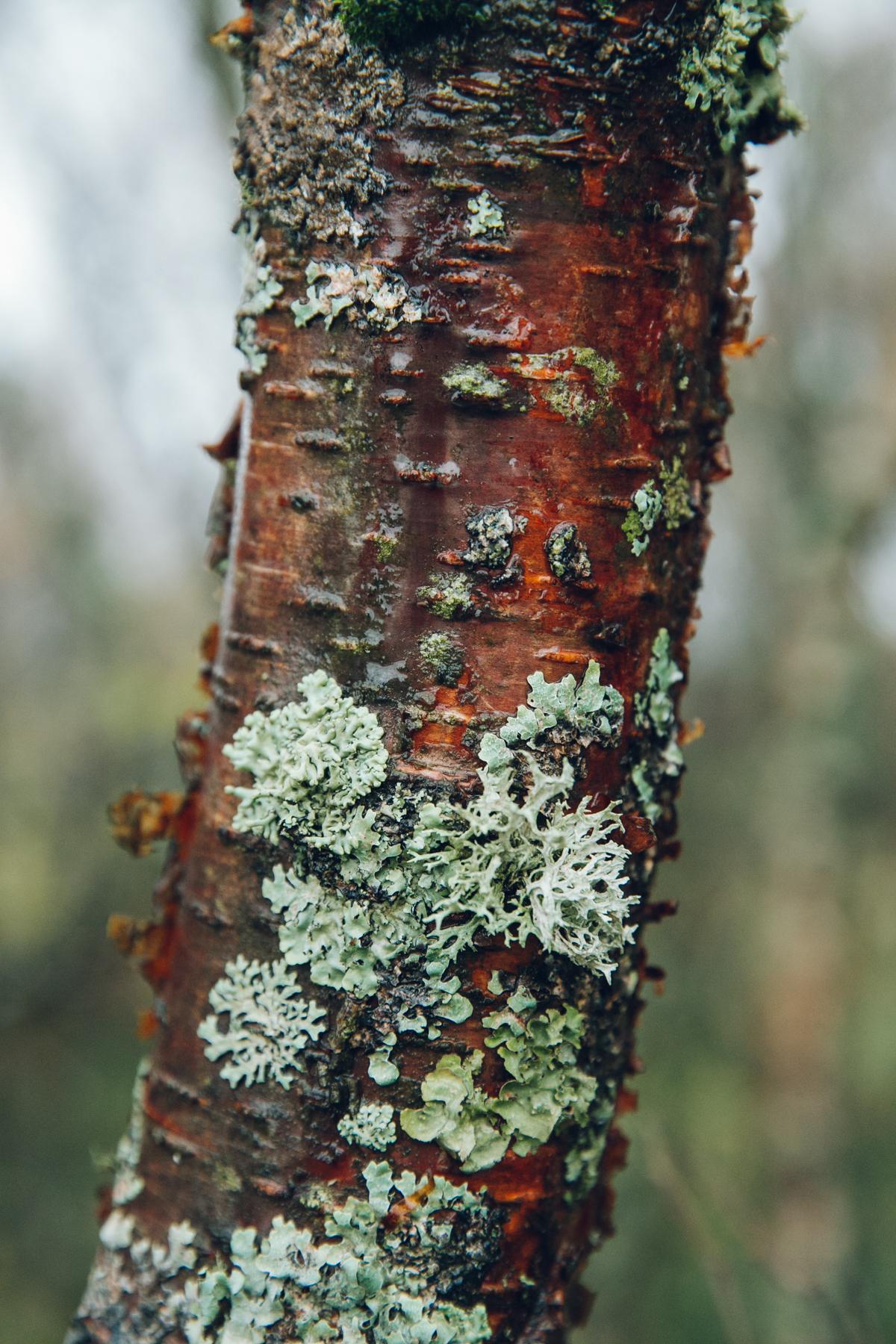 Lichen on birch bark.