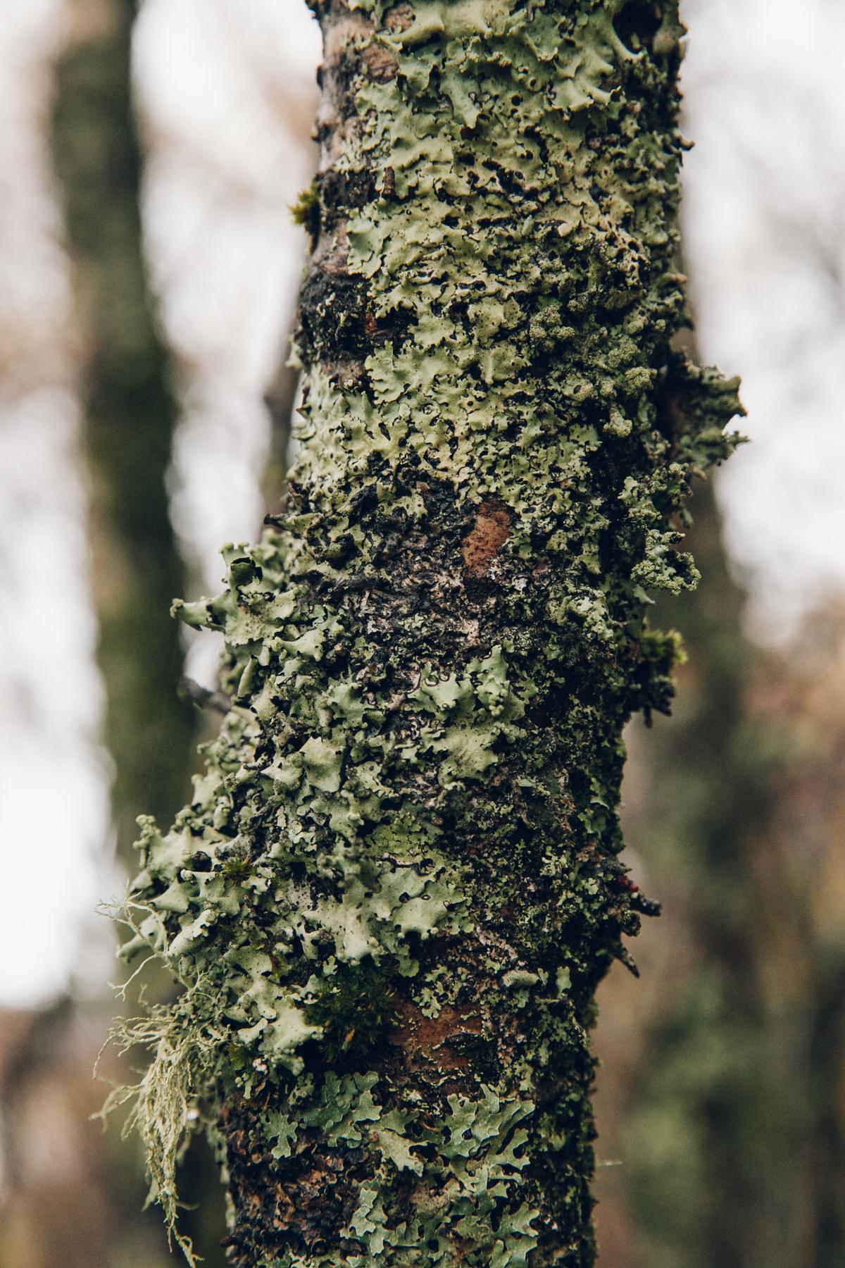 Lichen on a tree trunk.