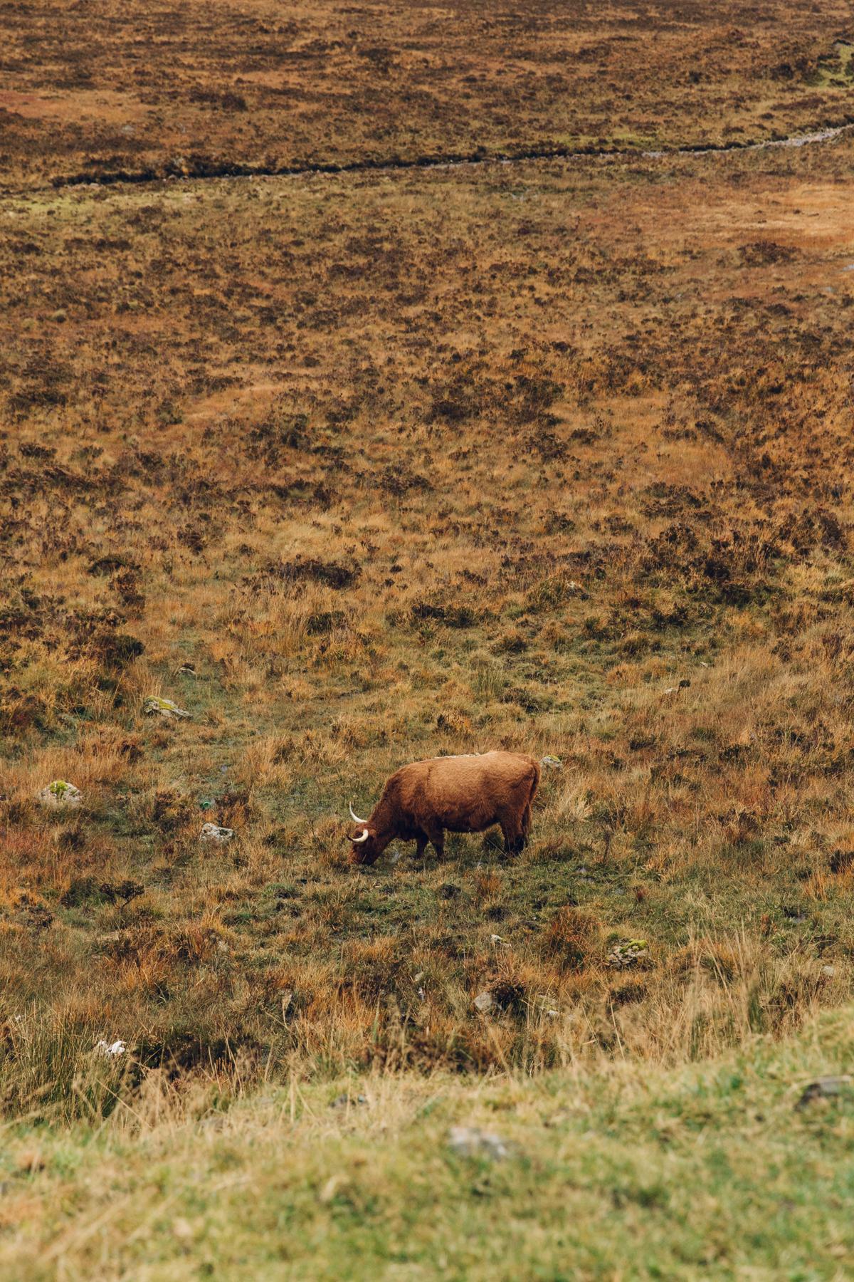 Highland cattle on the Isle of Skye.