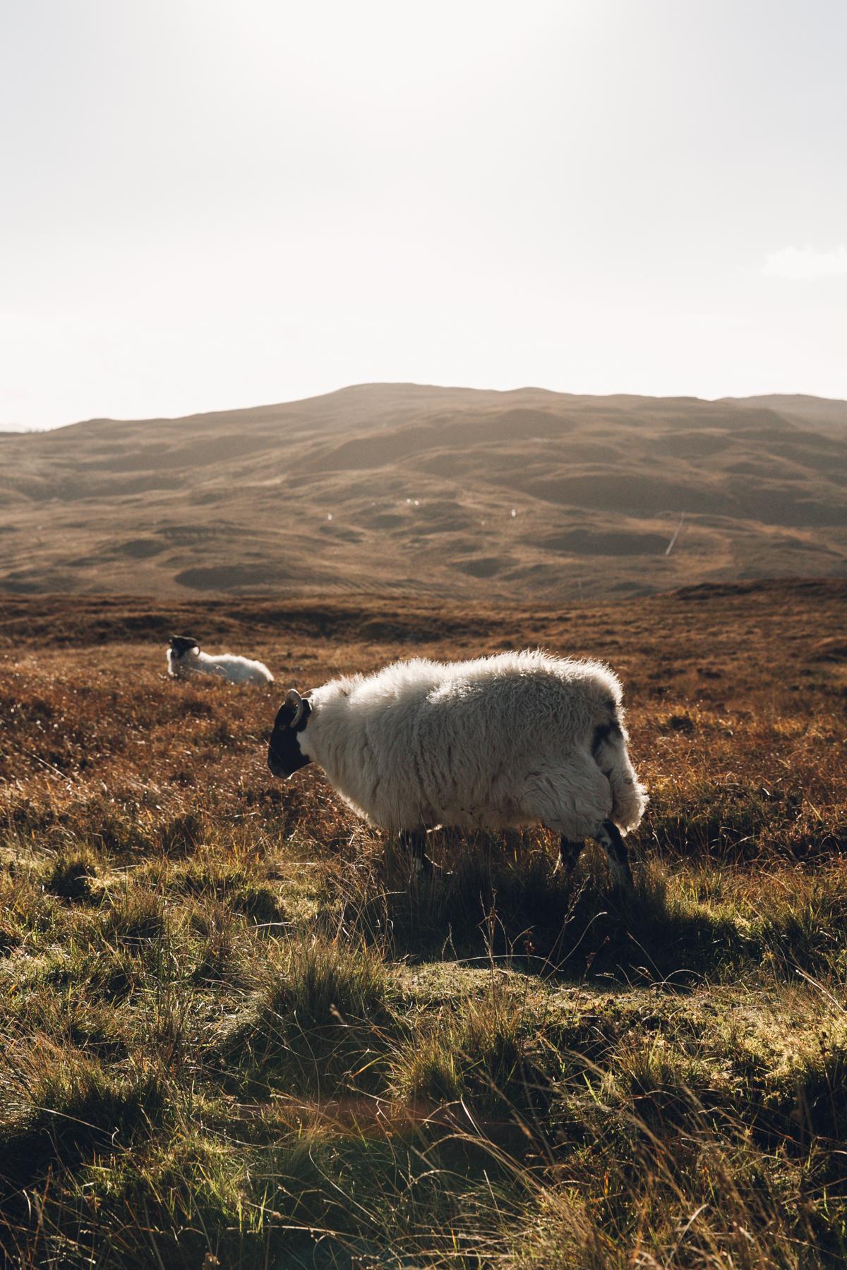 Sheep on the roadside.