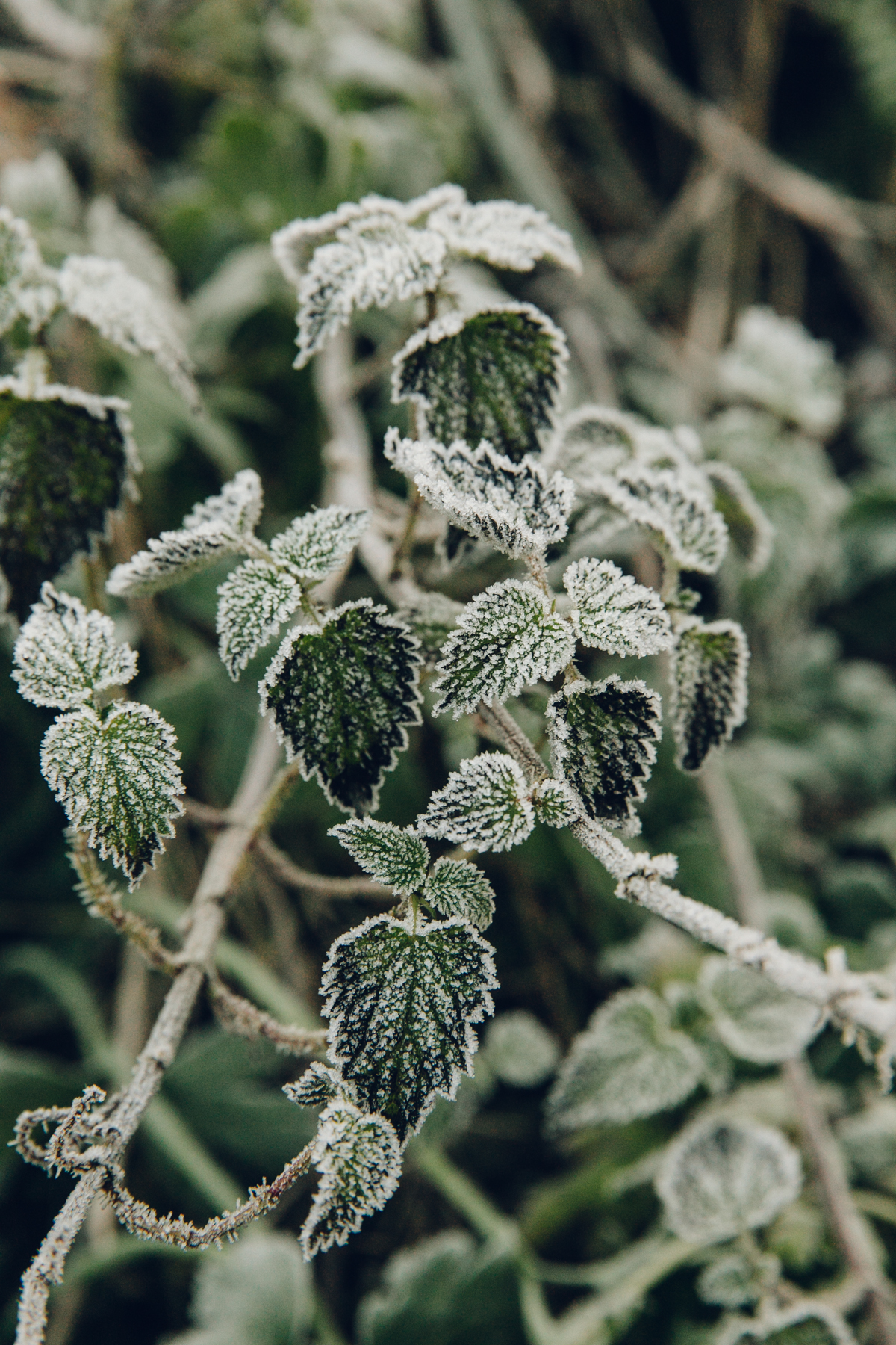 Frozen winter foliage.