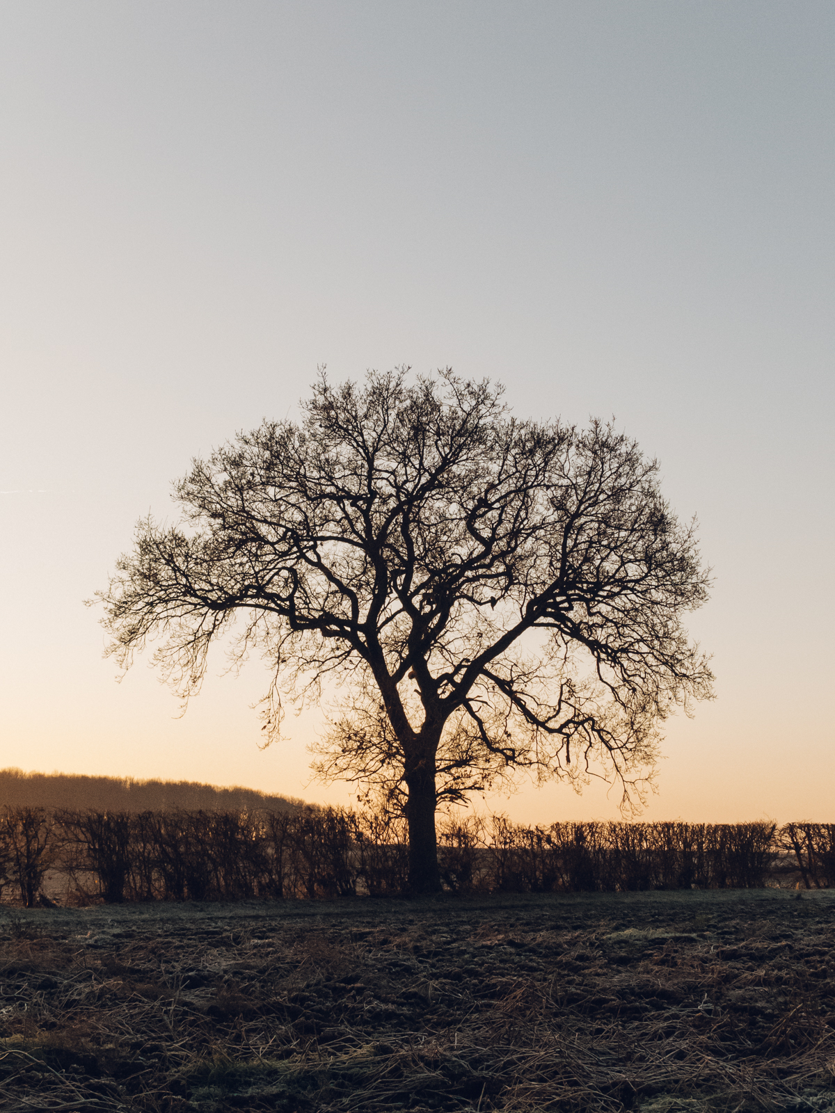 Lonely Winter tree at sunrise.