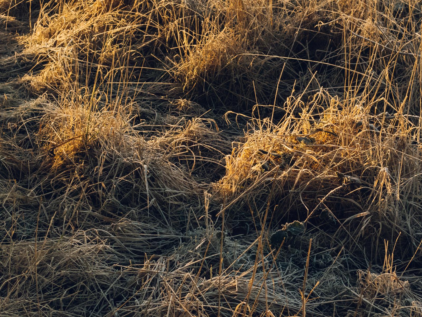 Golden Winter light on frozen grass.