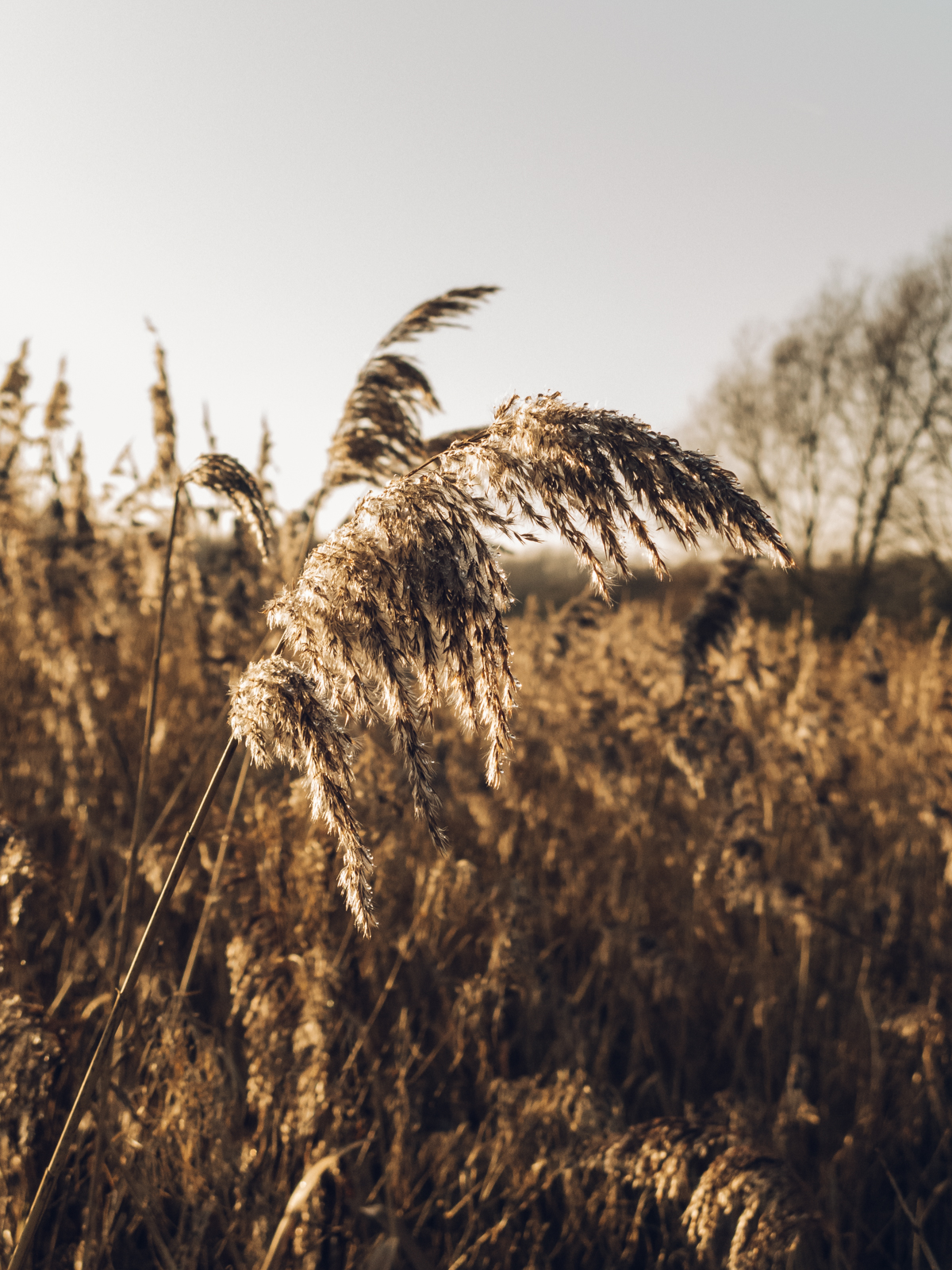 Winter sun on pond-side rushes.