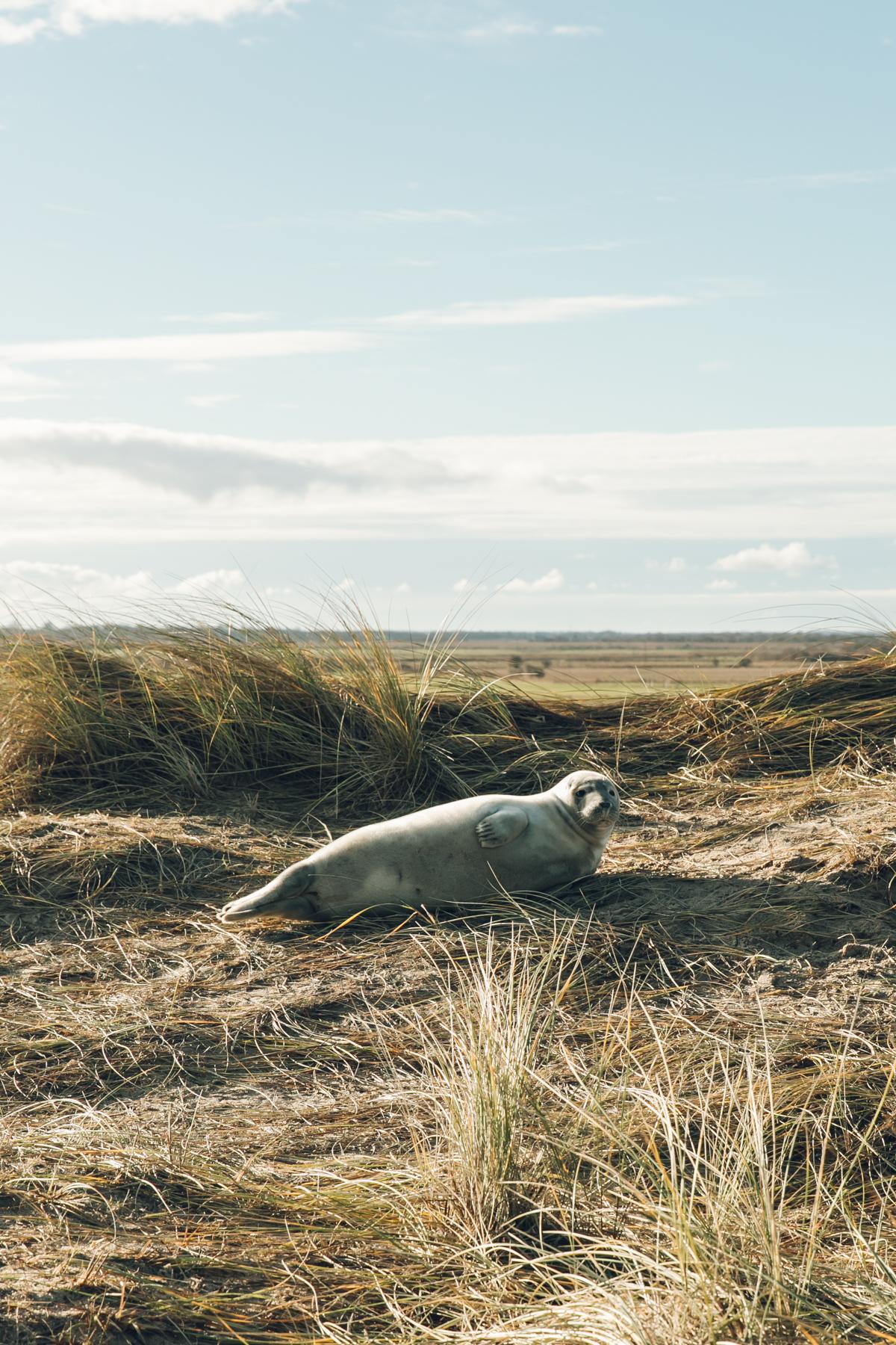 Seals at Horsey Gap in North Norfolk.
