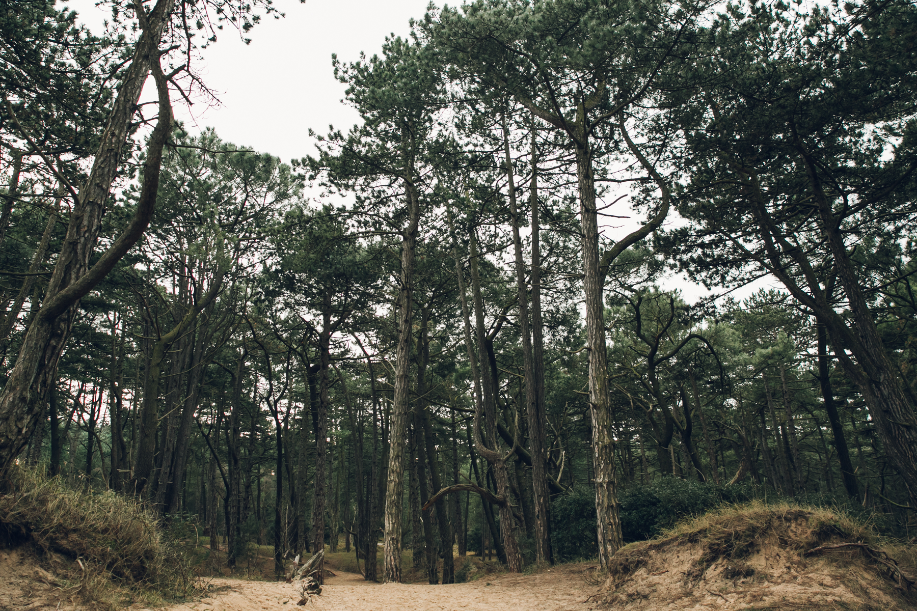 The pine woods at Wells-next-the-sea on the North Norfolk coast.
