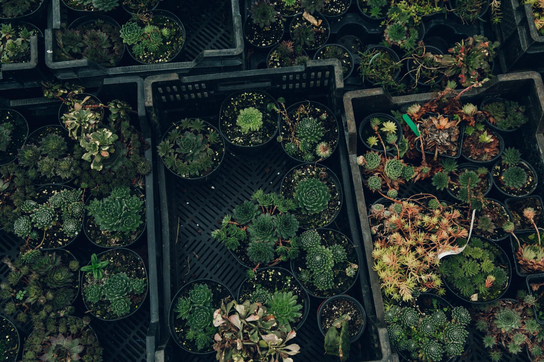 Sempervivum in the greenhouse.