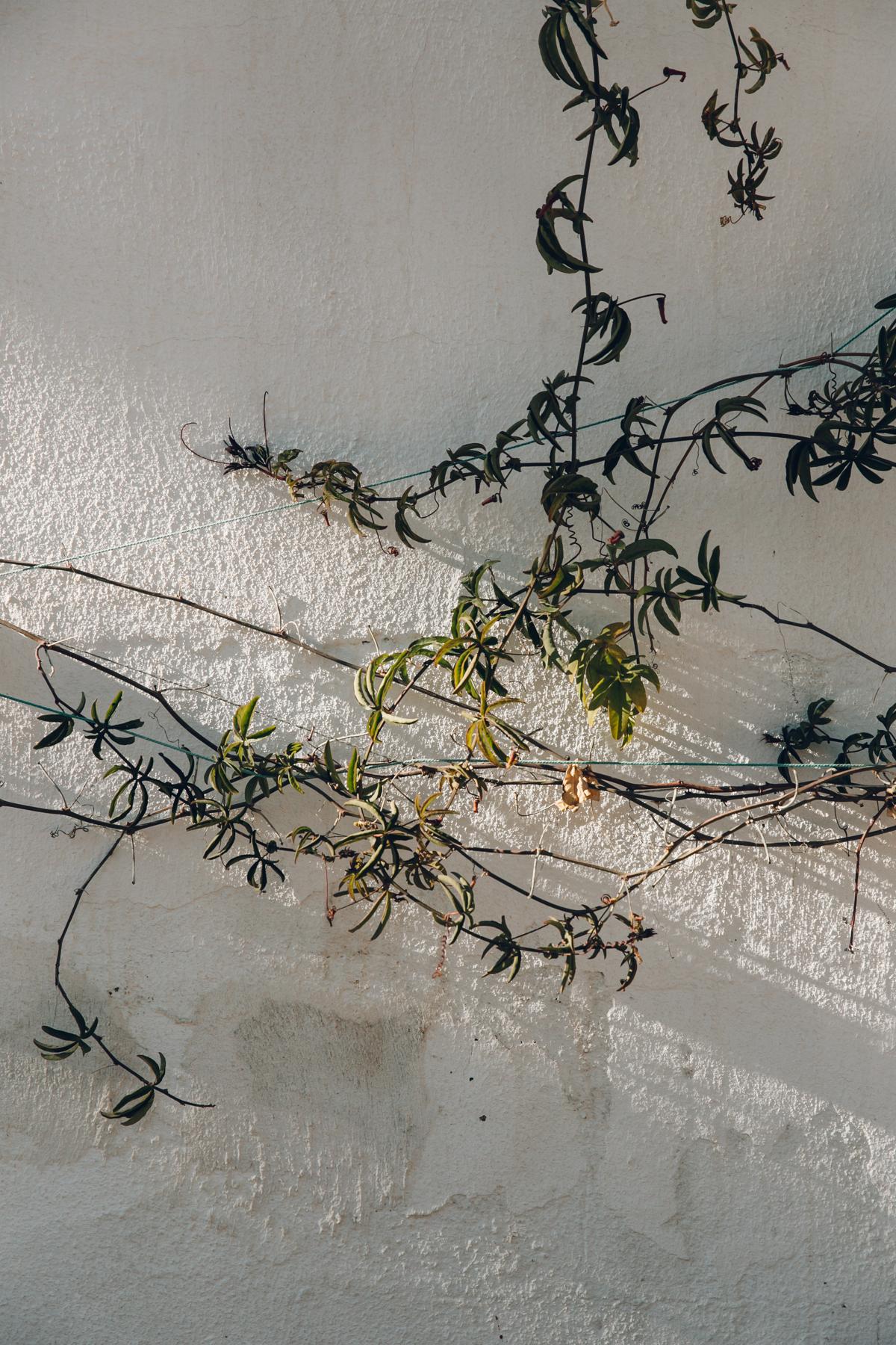 Light falling on passionflower vines.