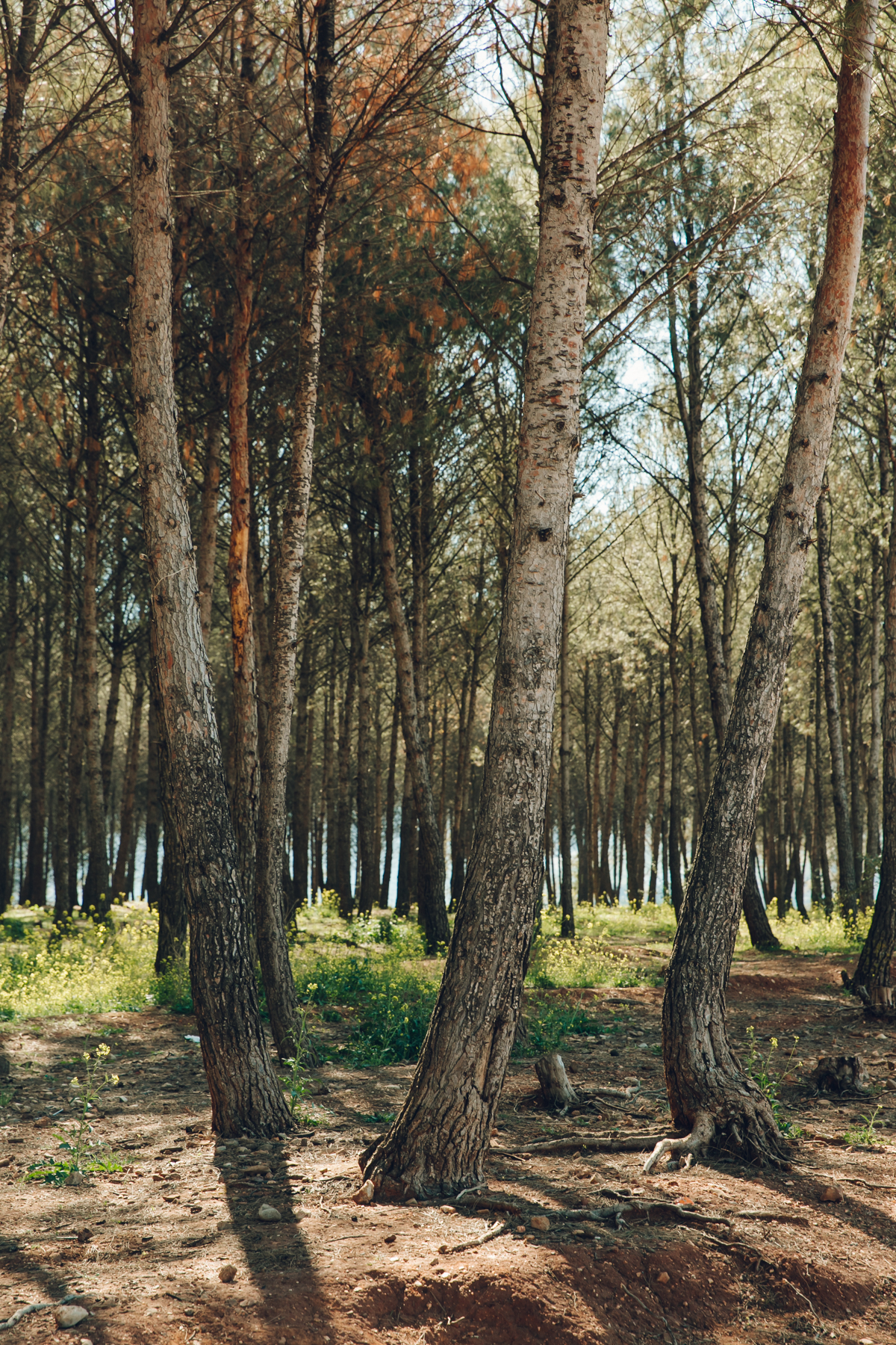 Pine woods in Andalusia.