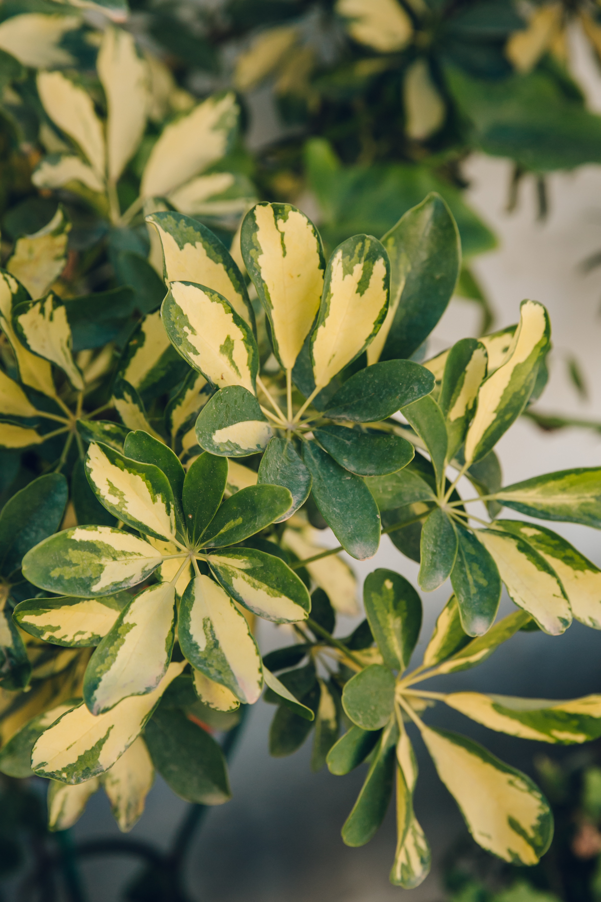 Schefflera in the plant-filled patios of Andalusia, Spain.