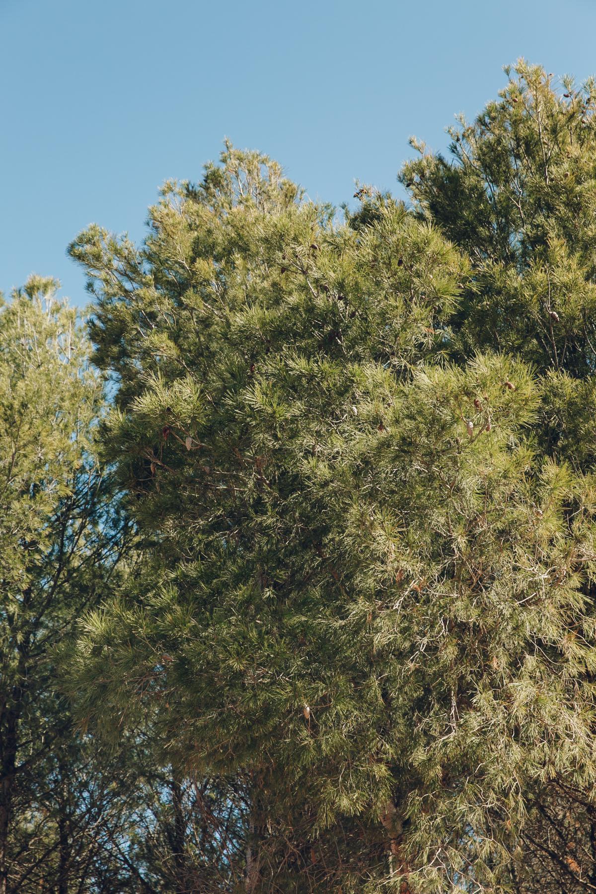 Pine trees on Valdearenas beach in Iznajar, Andalusia.