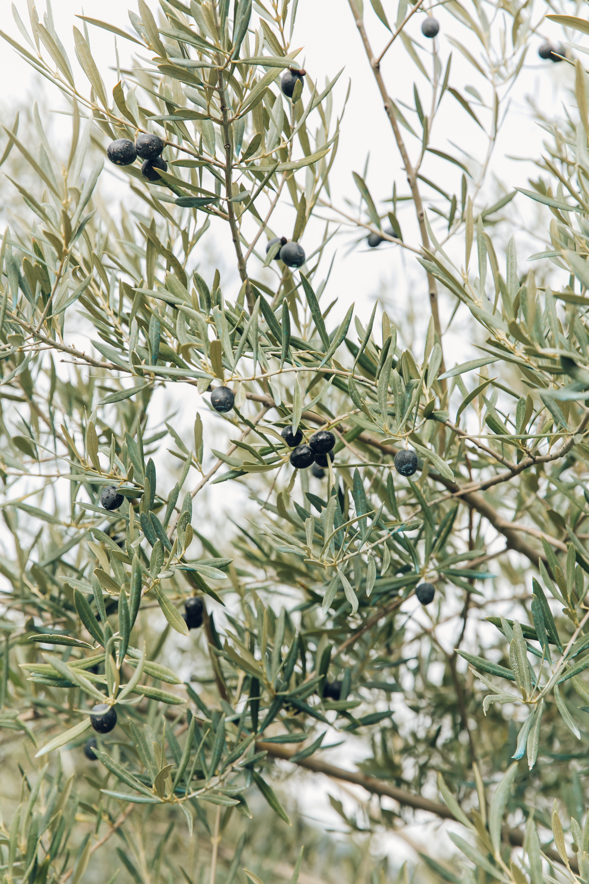 Black olives on the trees in Andalusia.