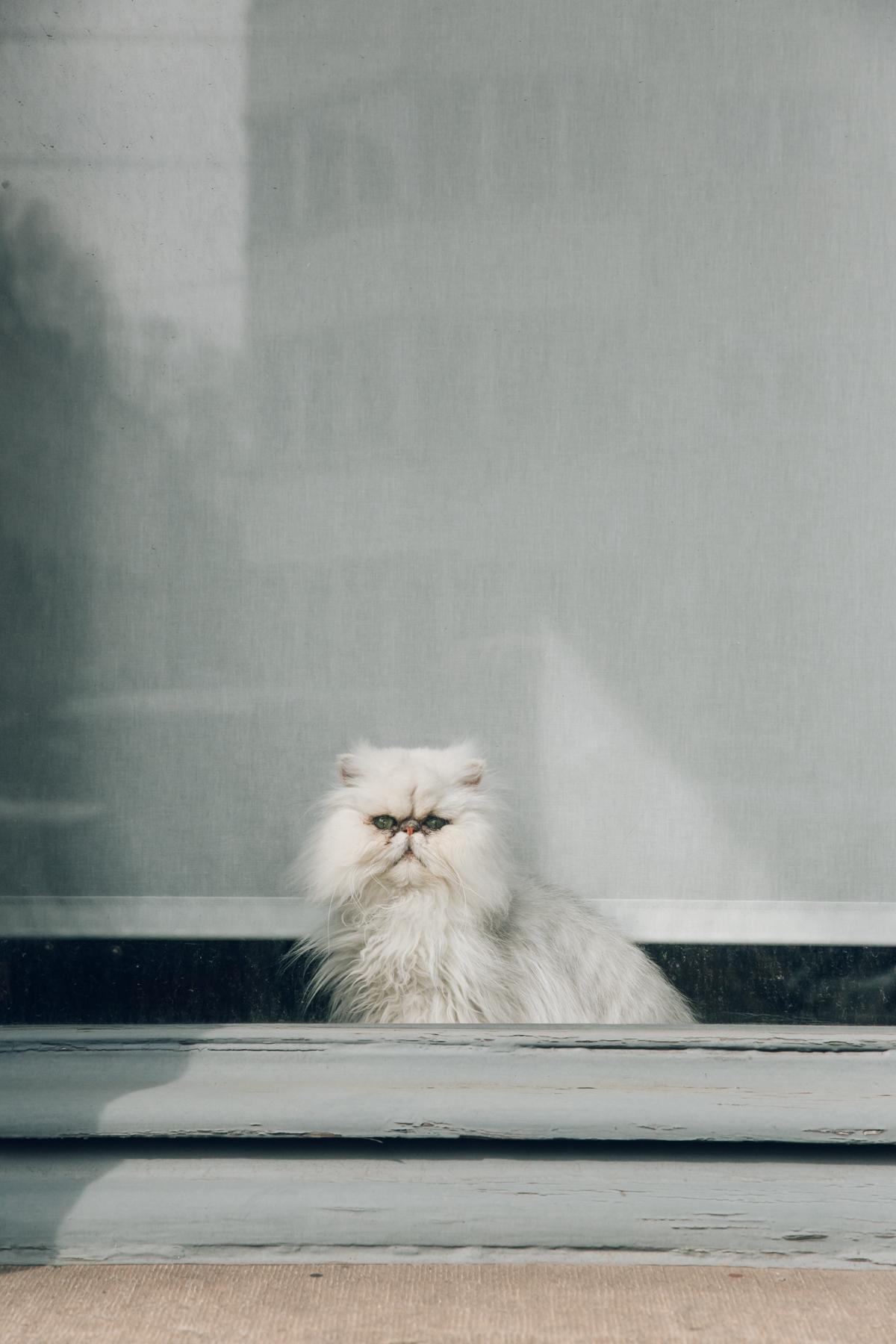 Coco the cat in the window in Gent, Belgium.