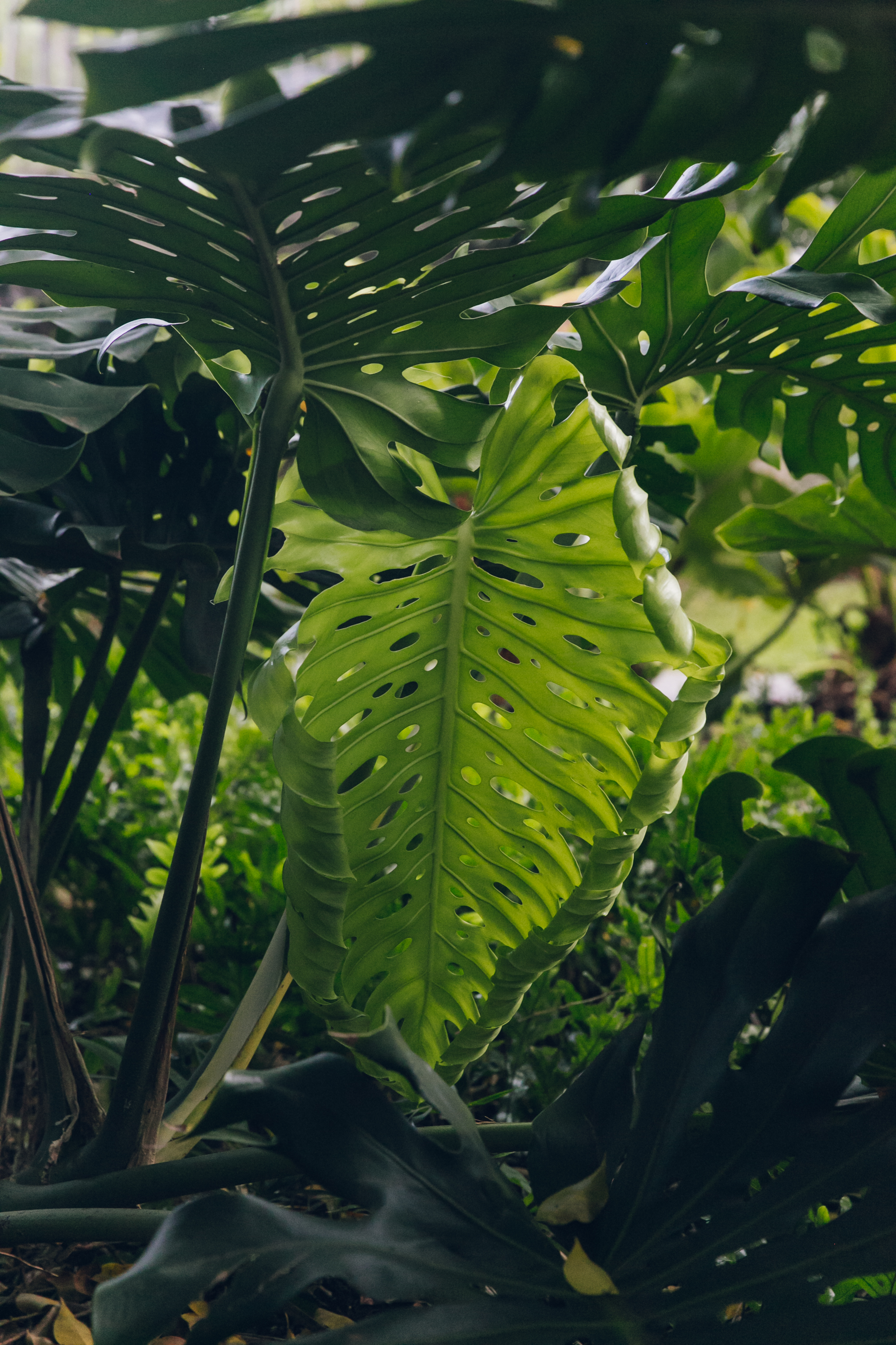 An unfurling Monstera leaf in the garden at Colony Club by Elegant Hotels in Barbados.