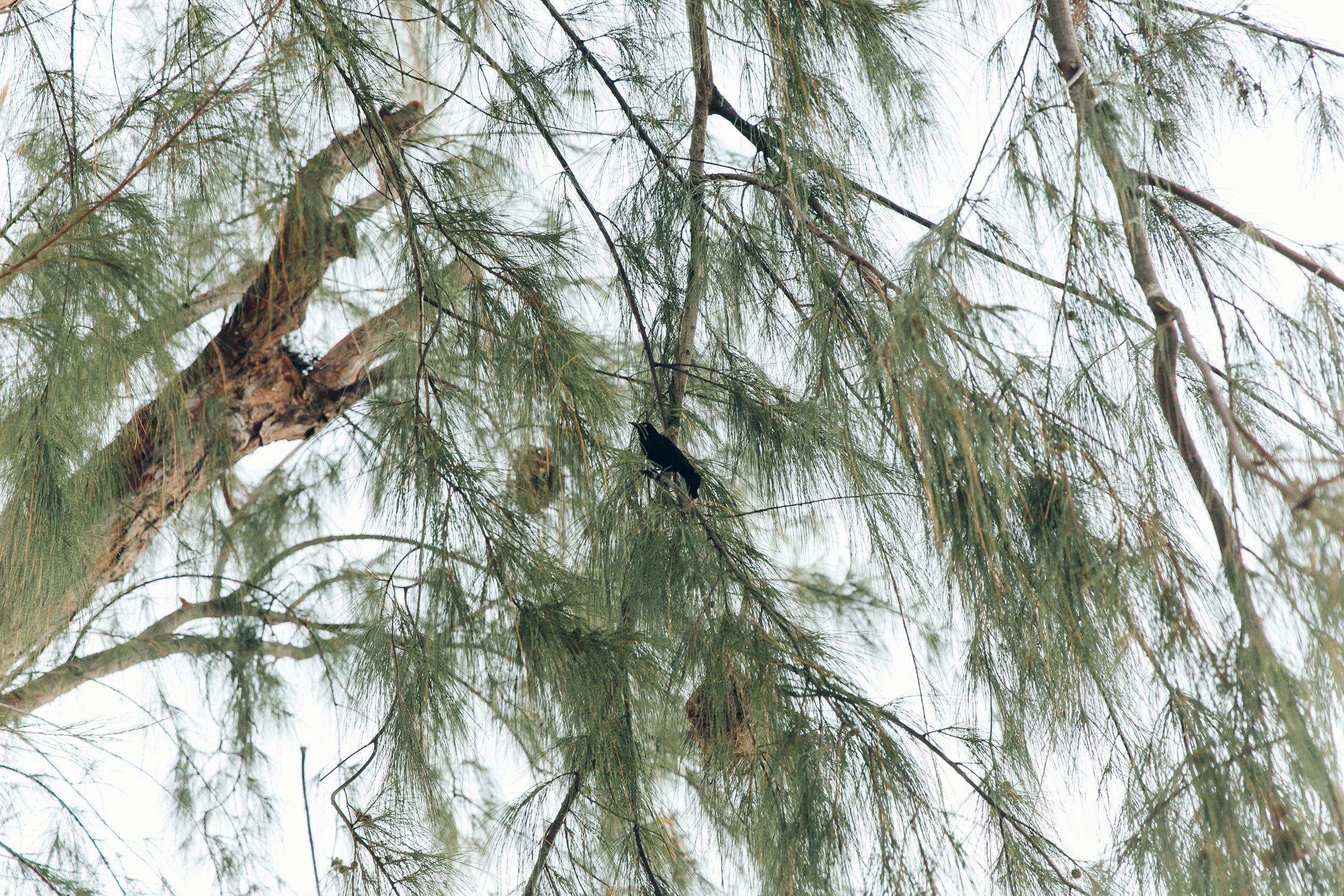 Barbados birds.