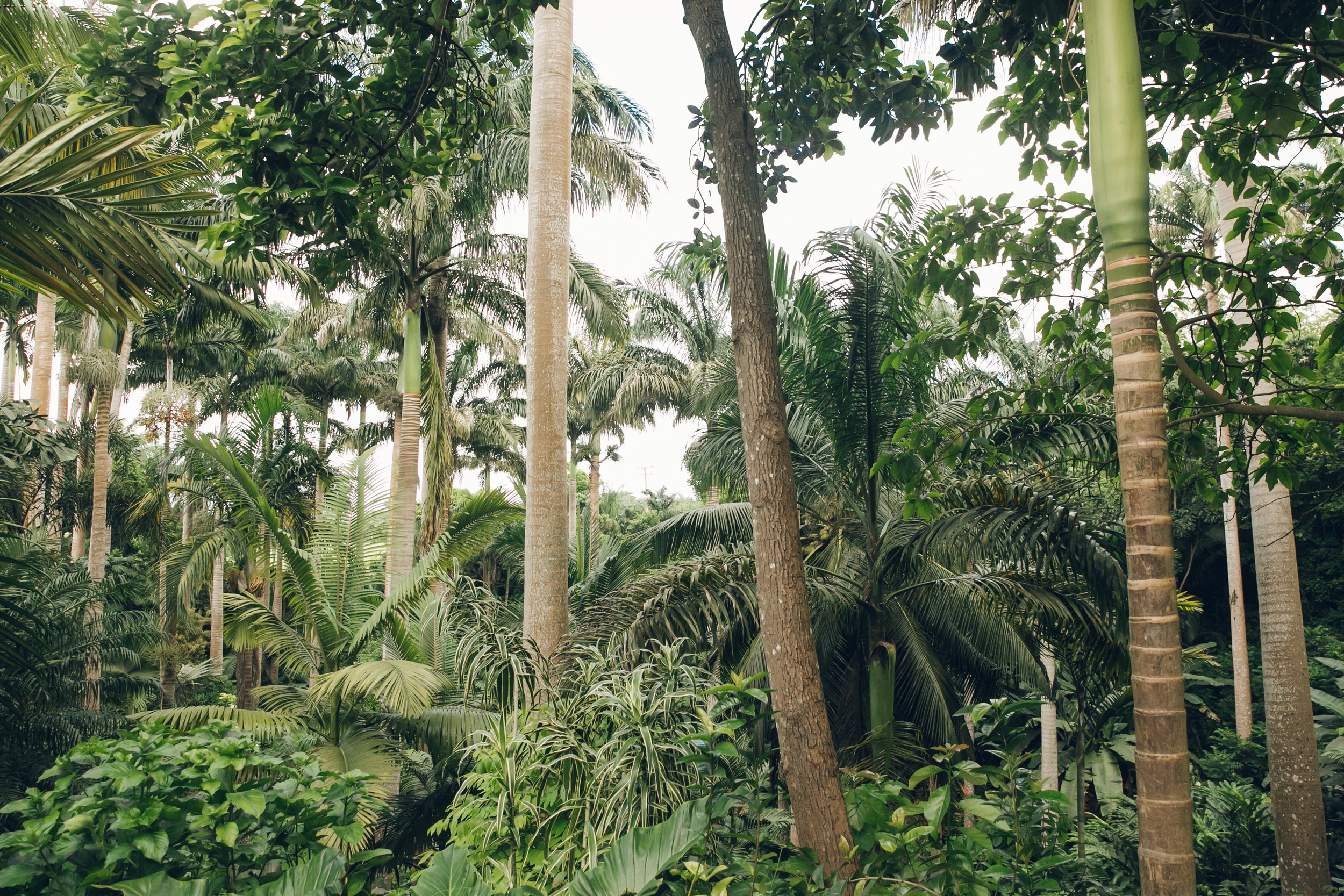 Tall Palm trees at Hunte's Garden in Barbados.