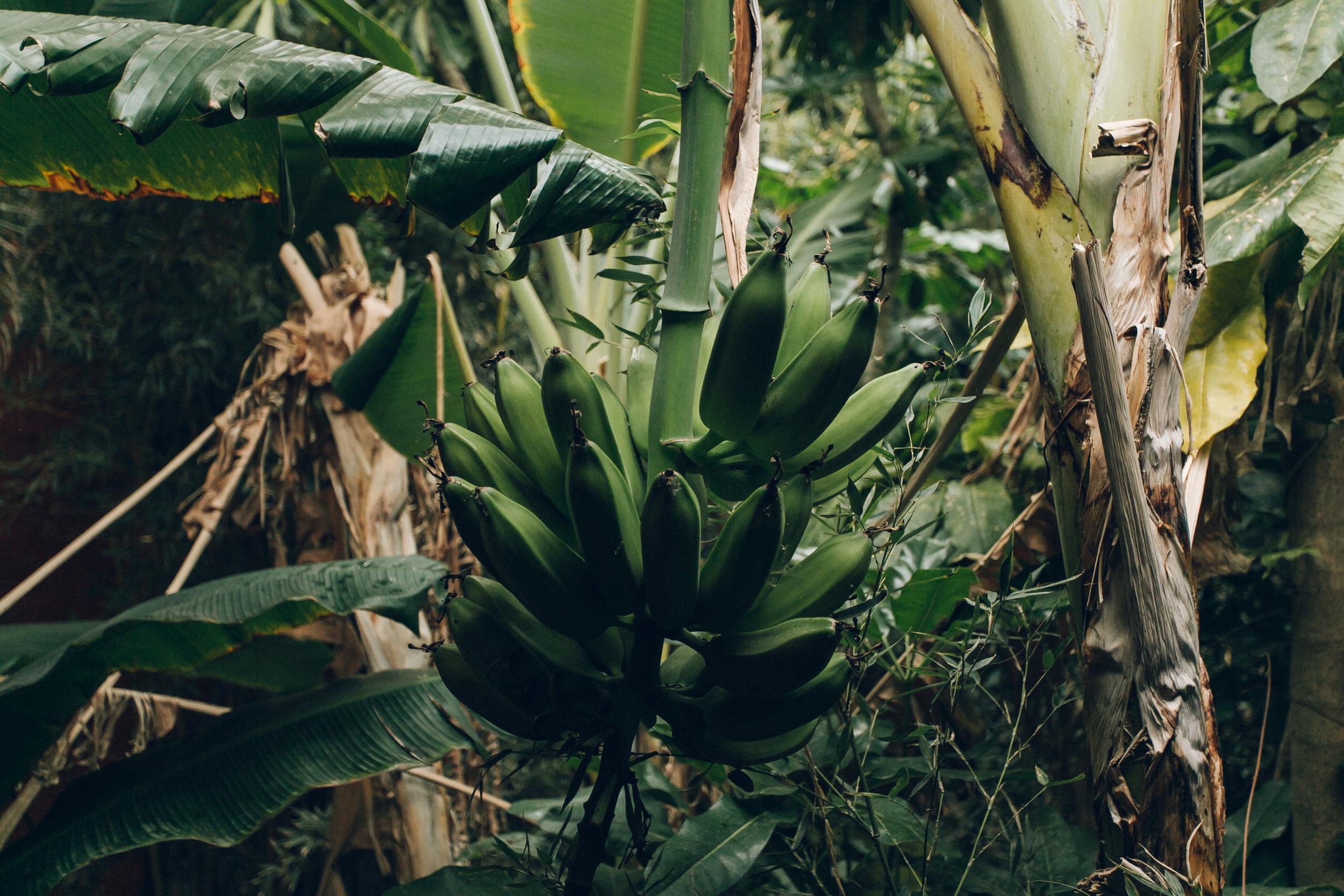 Asia Gardens Alicante Bananas