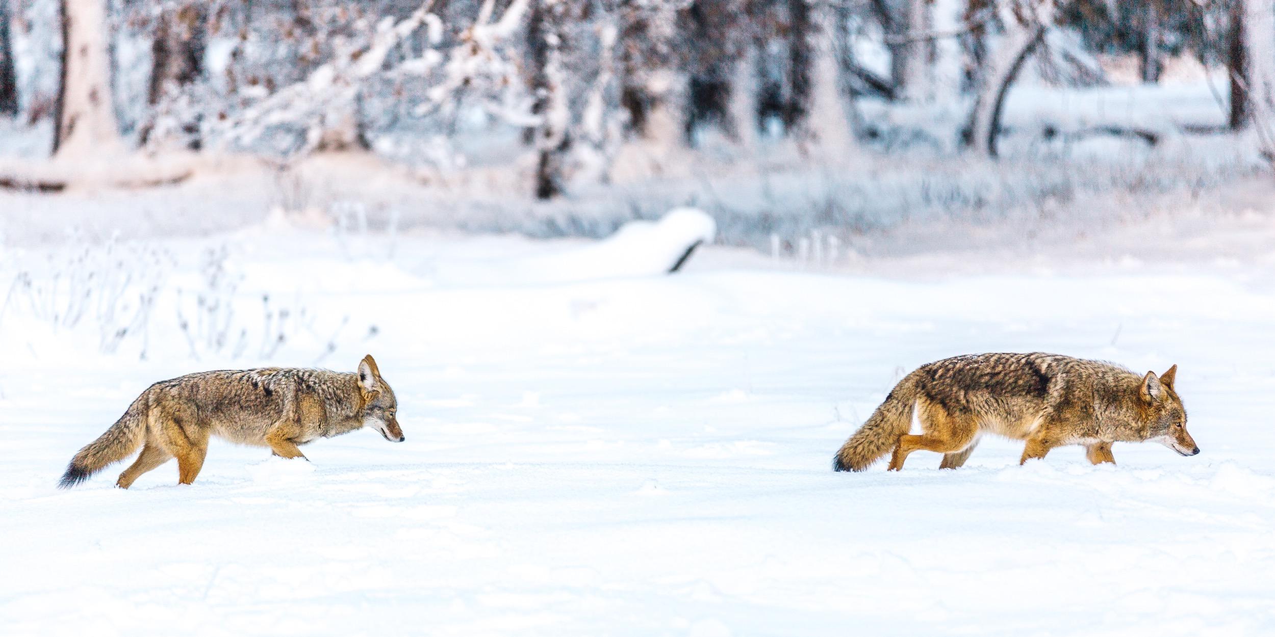 KimCarroll.com - Yosemite coyote-1.jpg