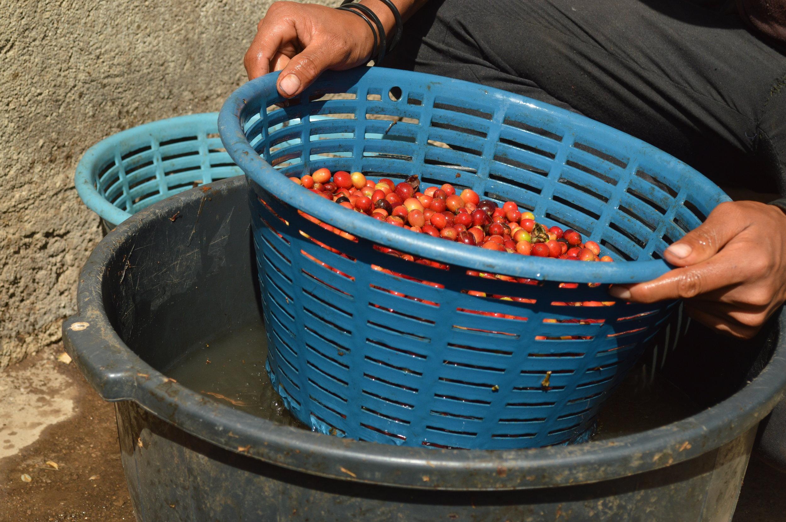 Climate Smart Coffee project in Santa Rosa, Guatemala. Photo: Anthony Marten