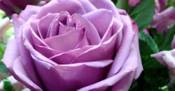 rose-428881_640.jpg