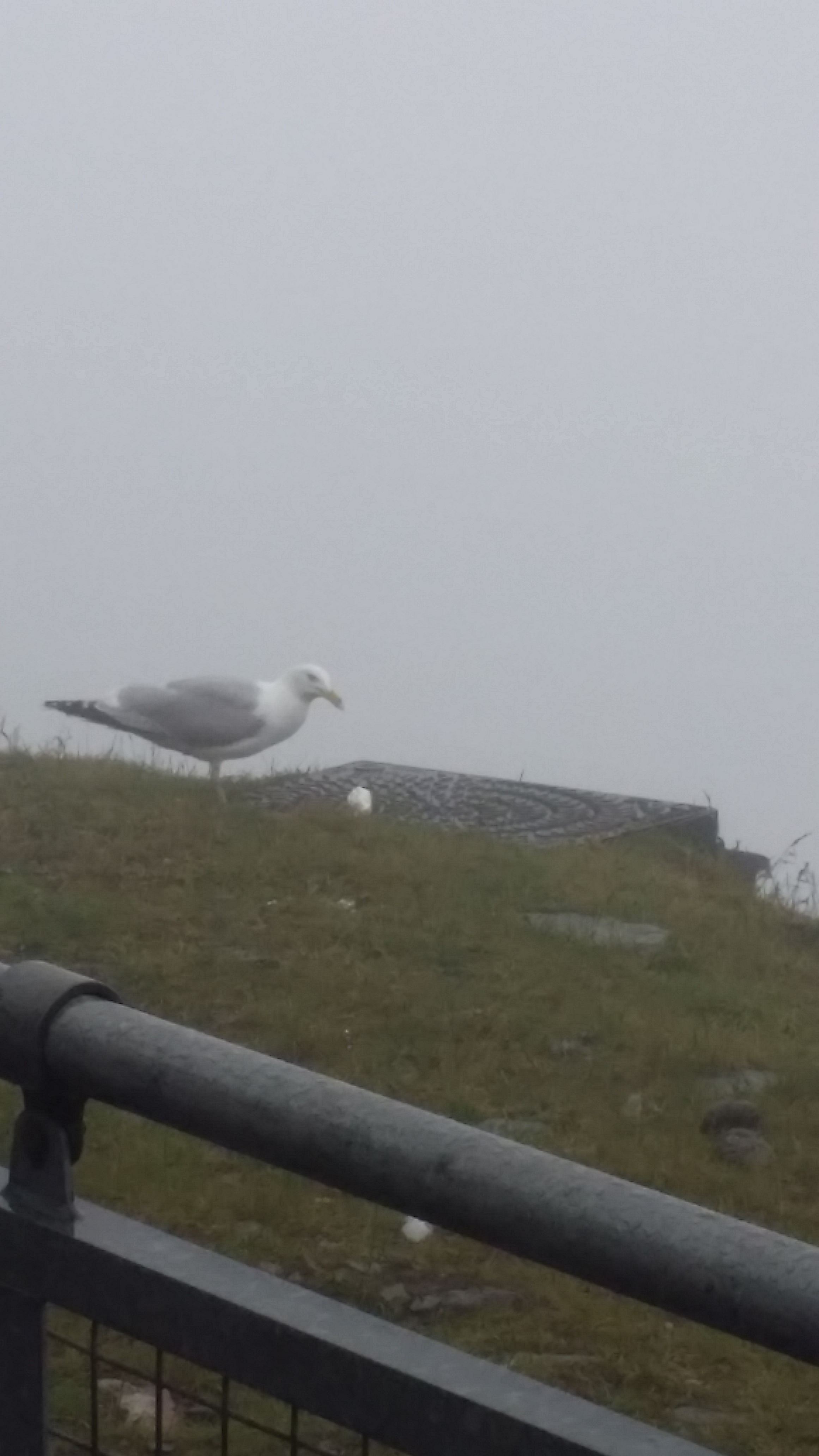 Seagull makes the most of a dropped ice cream.jpg