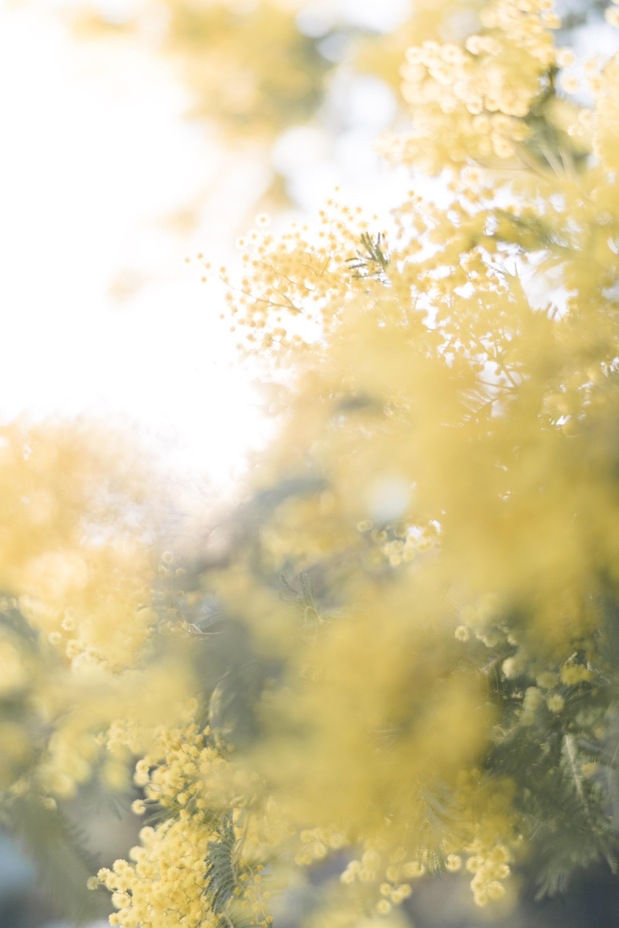 Mimosa - Olivia Thébaut
