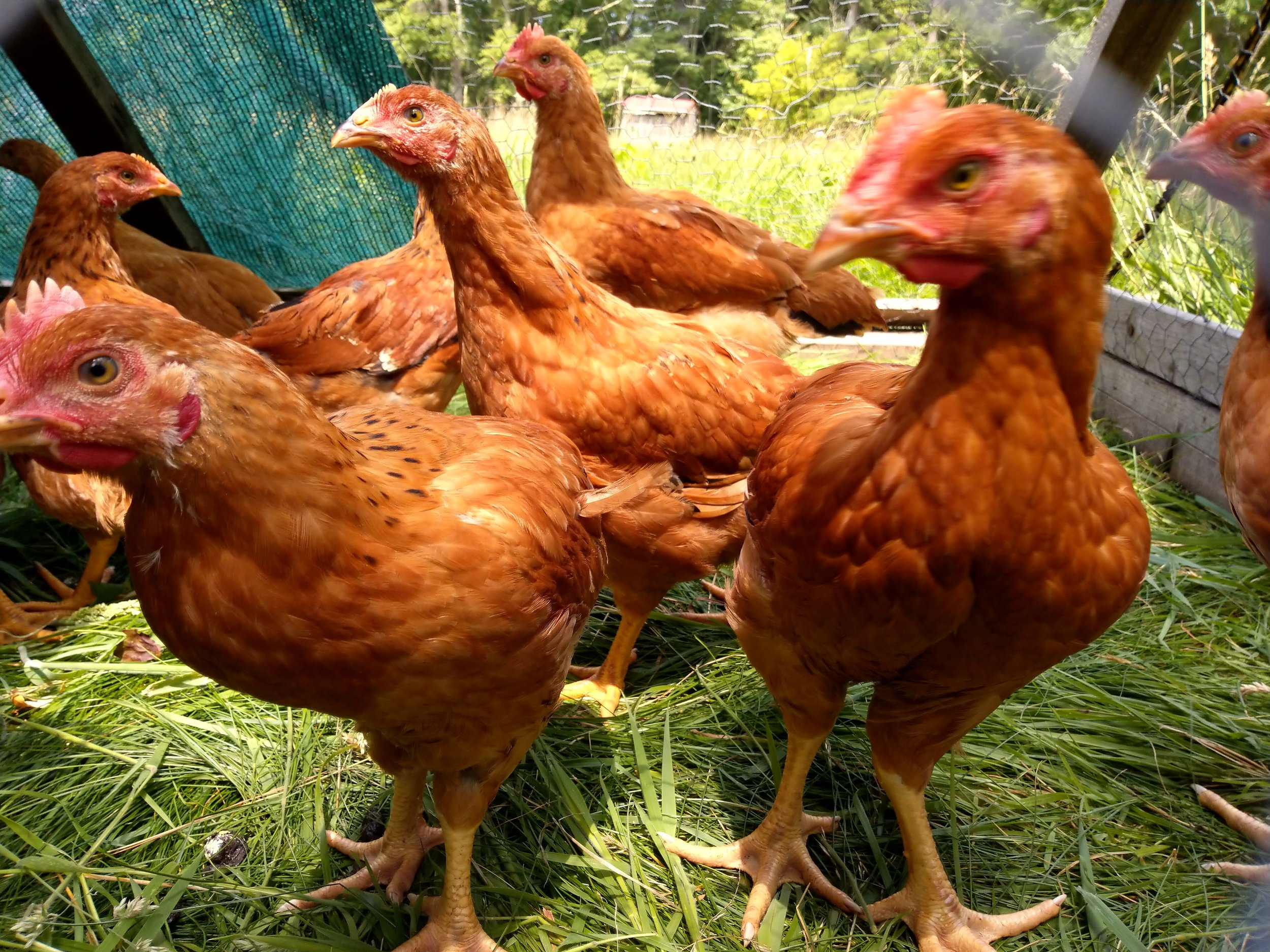 """Freedom Rangers in their """"chicken tractor""""."""