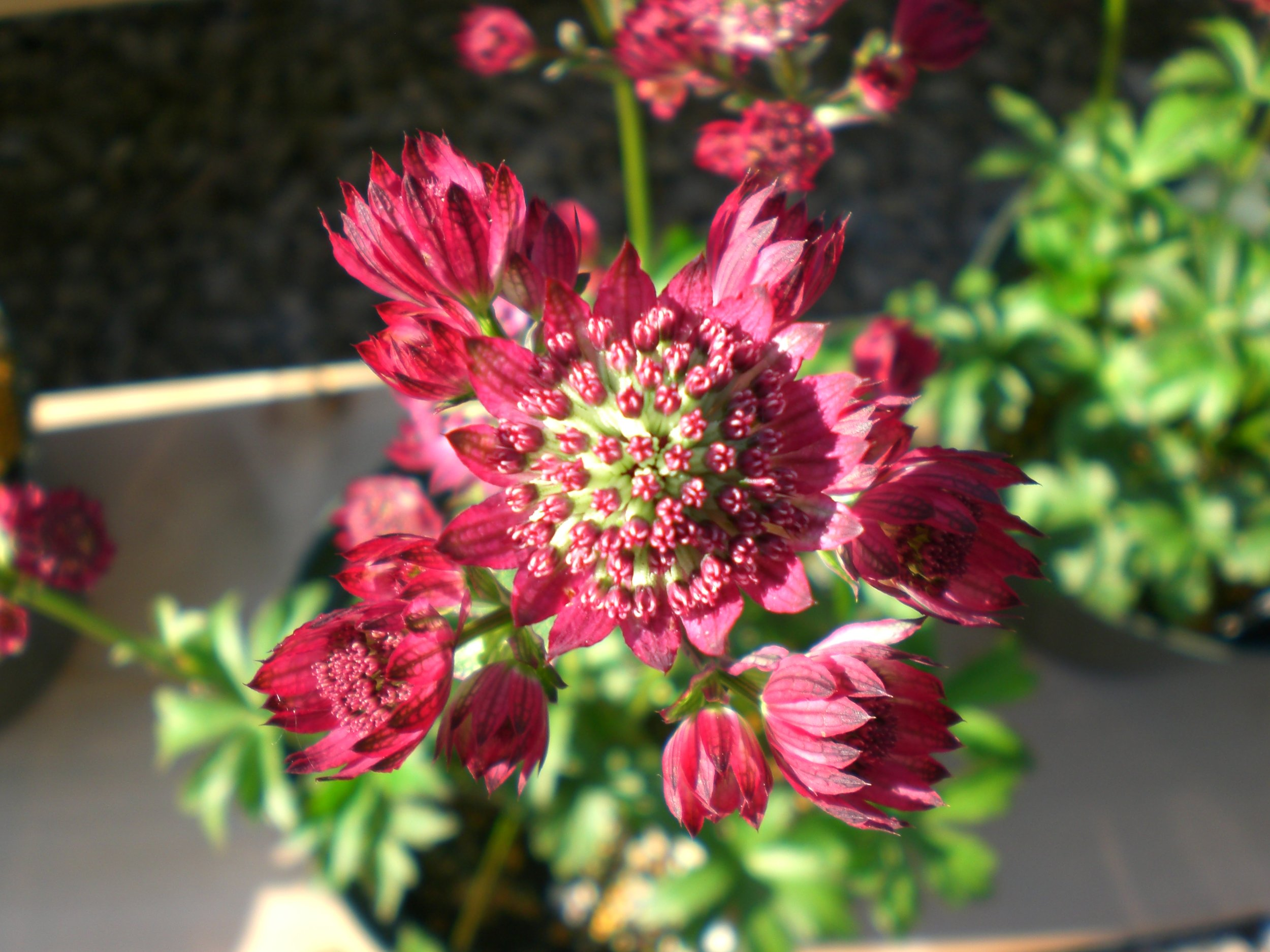 Astrantia Abbey Road.JPG
