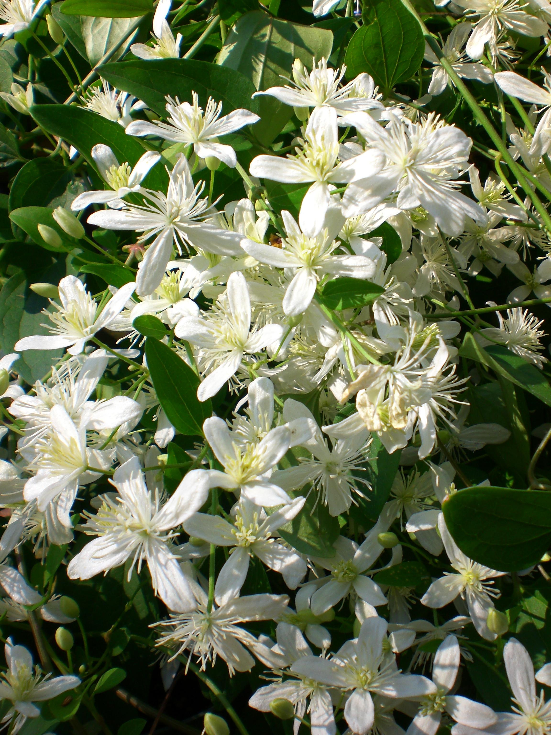 Clematis Sweet Autumn Vine.JPG