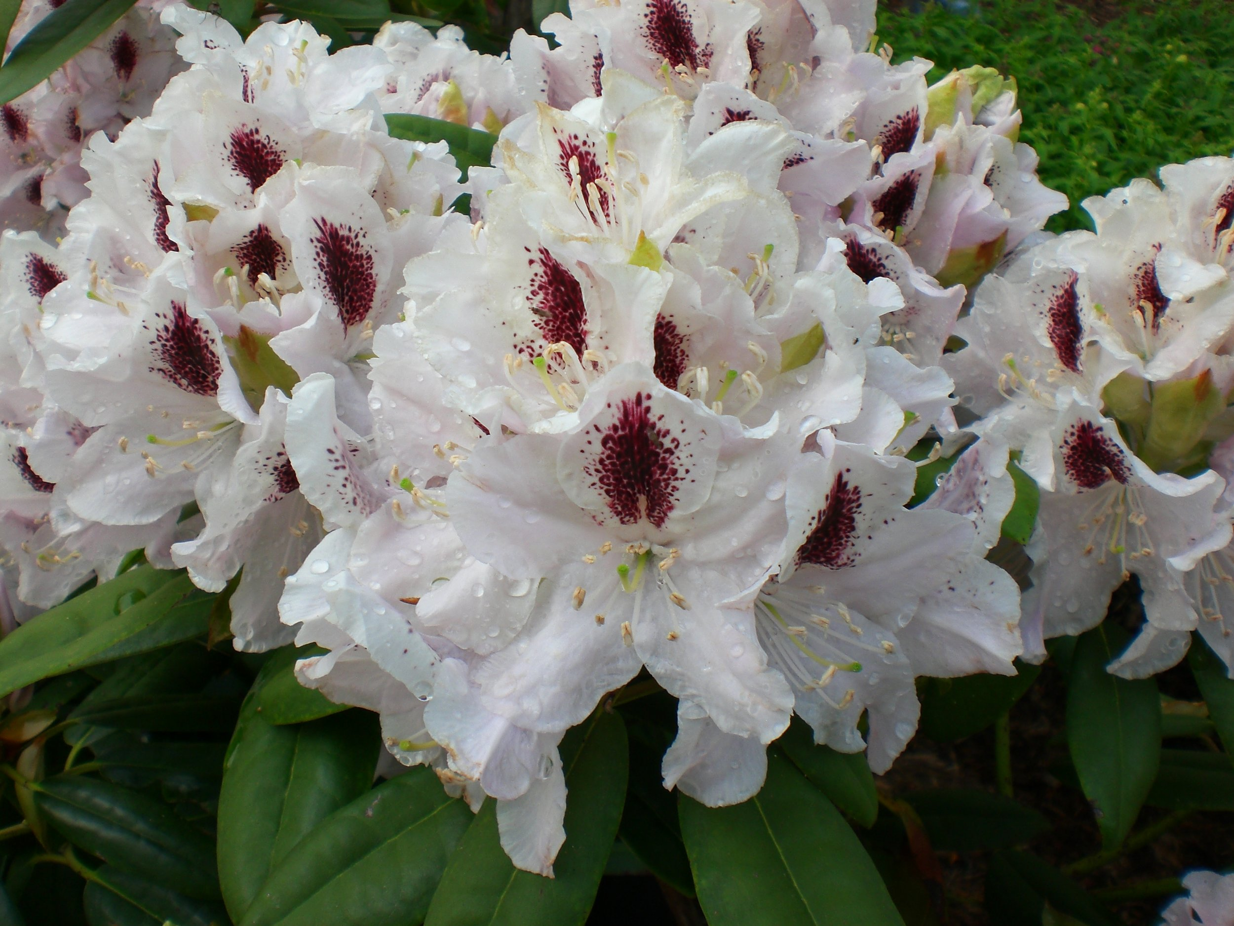 Calsap Rhododendron.JPG