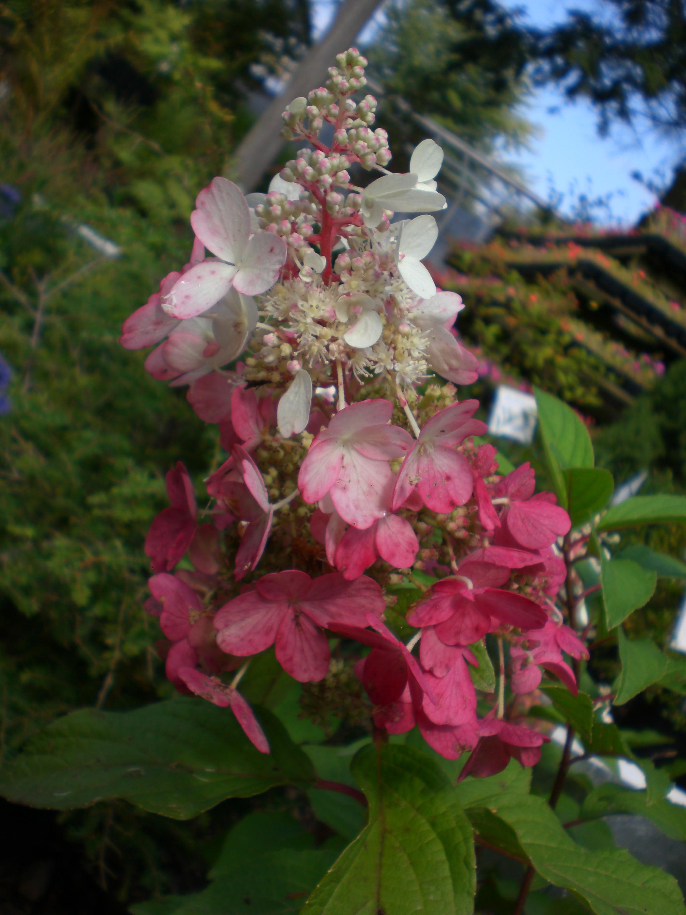 Hydrangea Pinky Winky 3.JPG