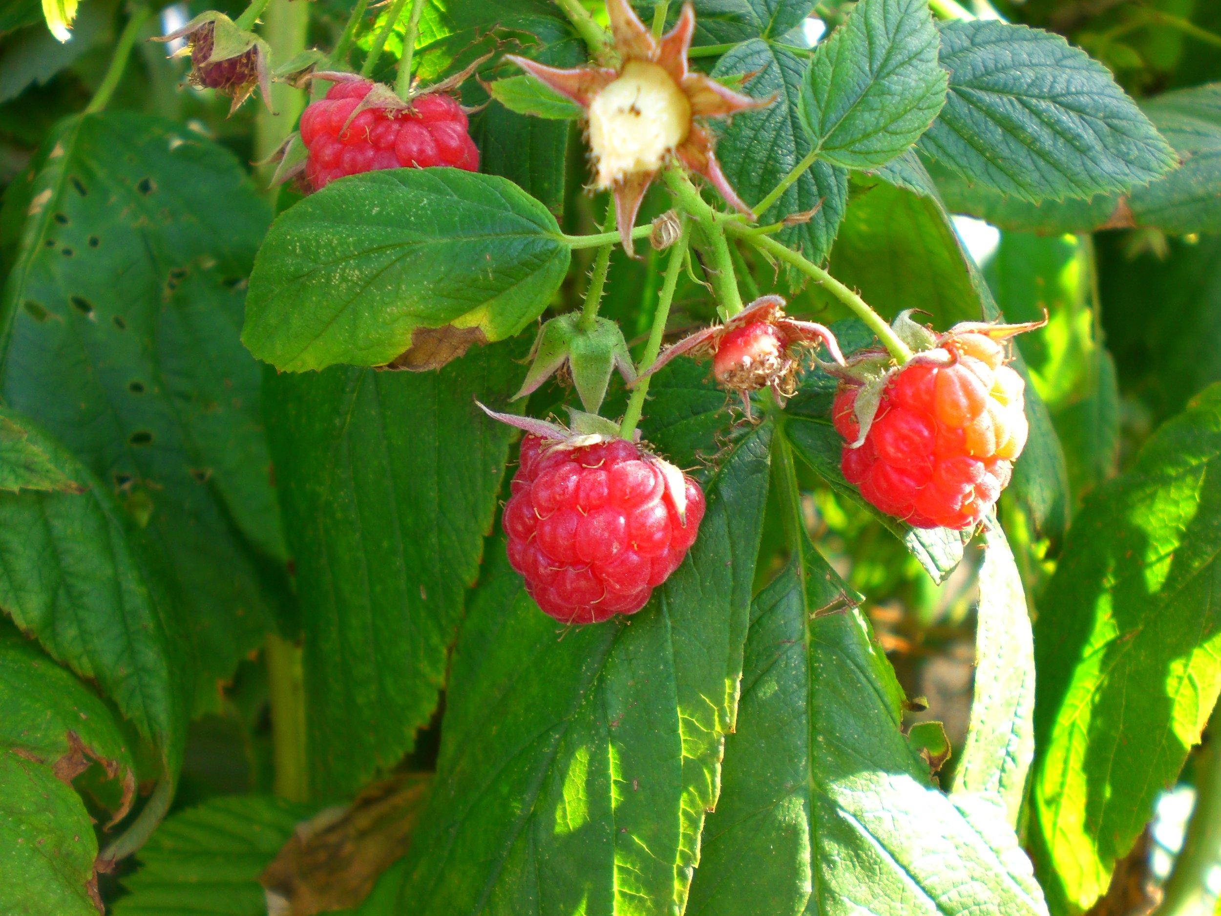 Raspberry Heritage (2).JPG