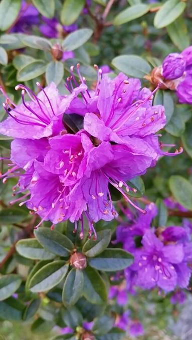 Rododendron                      Foto: S.K. Flekke