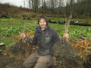 One year old bare root persimmons showing off their fibrous root systems